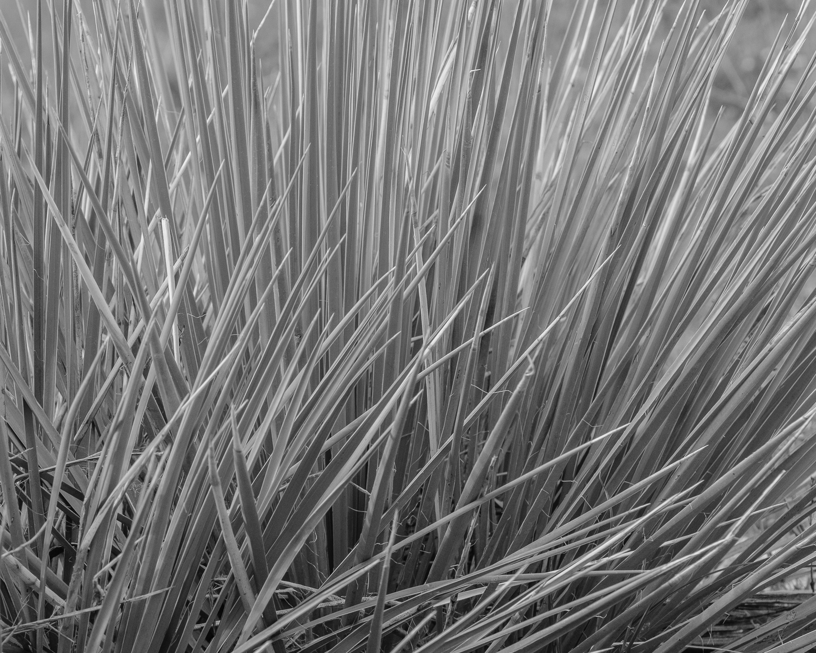 Day 172 - 365 Day B&W Photo Challenge - Texture of a backlit Yucca Plant -  Fujifilm X-T3, Acros R Film Simulation