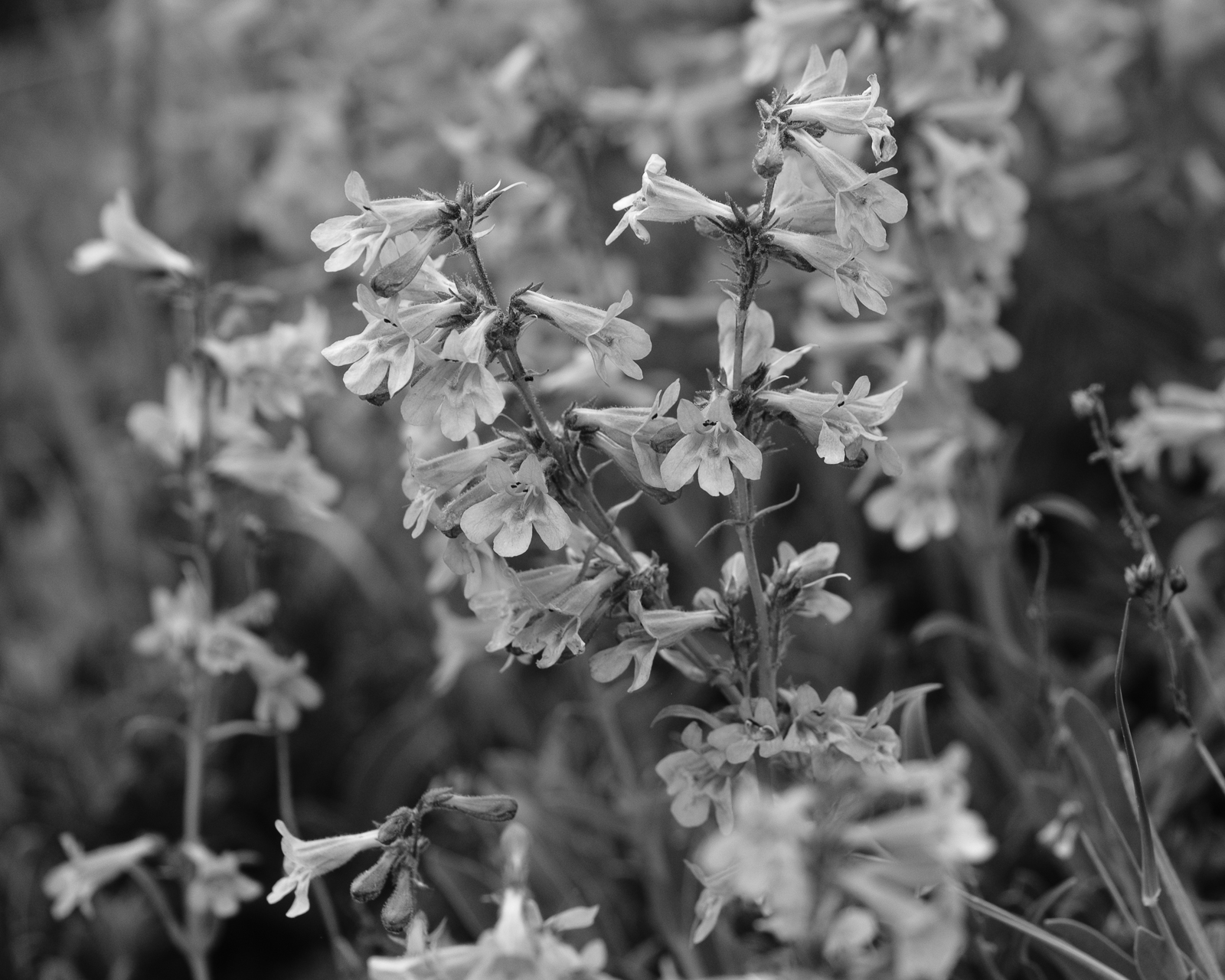 Day 174 - 365 Day B&W Photo Challenge - Blooming Bluebells-  Fujifilm X-T3, XF 50-140mm f/2.8, Acros R Film Simulation
