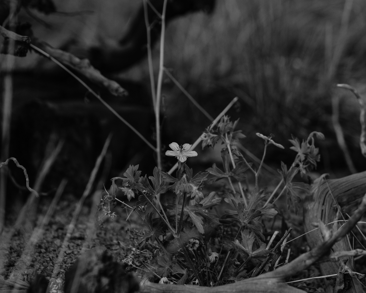 Day 195 - 365 Day B&W Photo Challenge - Wildflower has is in full bloom. - Fuji X-T3, XF 50-140mm f/2.8, Acros Film Simulation