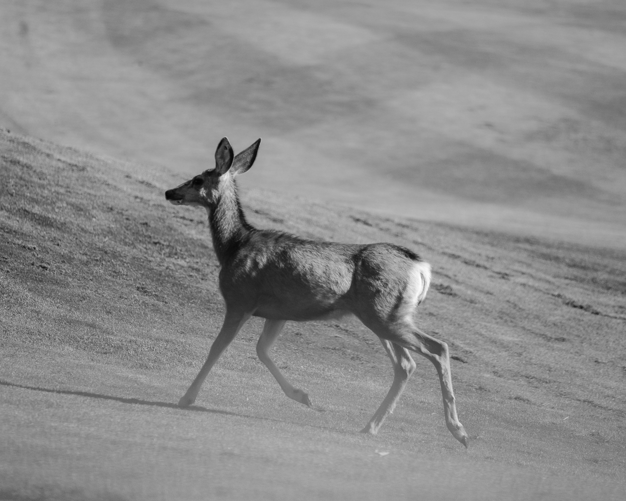 Day 196 - 365 Day B&W Photo Challenge - Mule Deer decided to cross the golf course. - Fuji X-T3, XF 50-140mm f/2.8, Acros Film Simulation