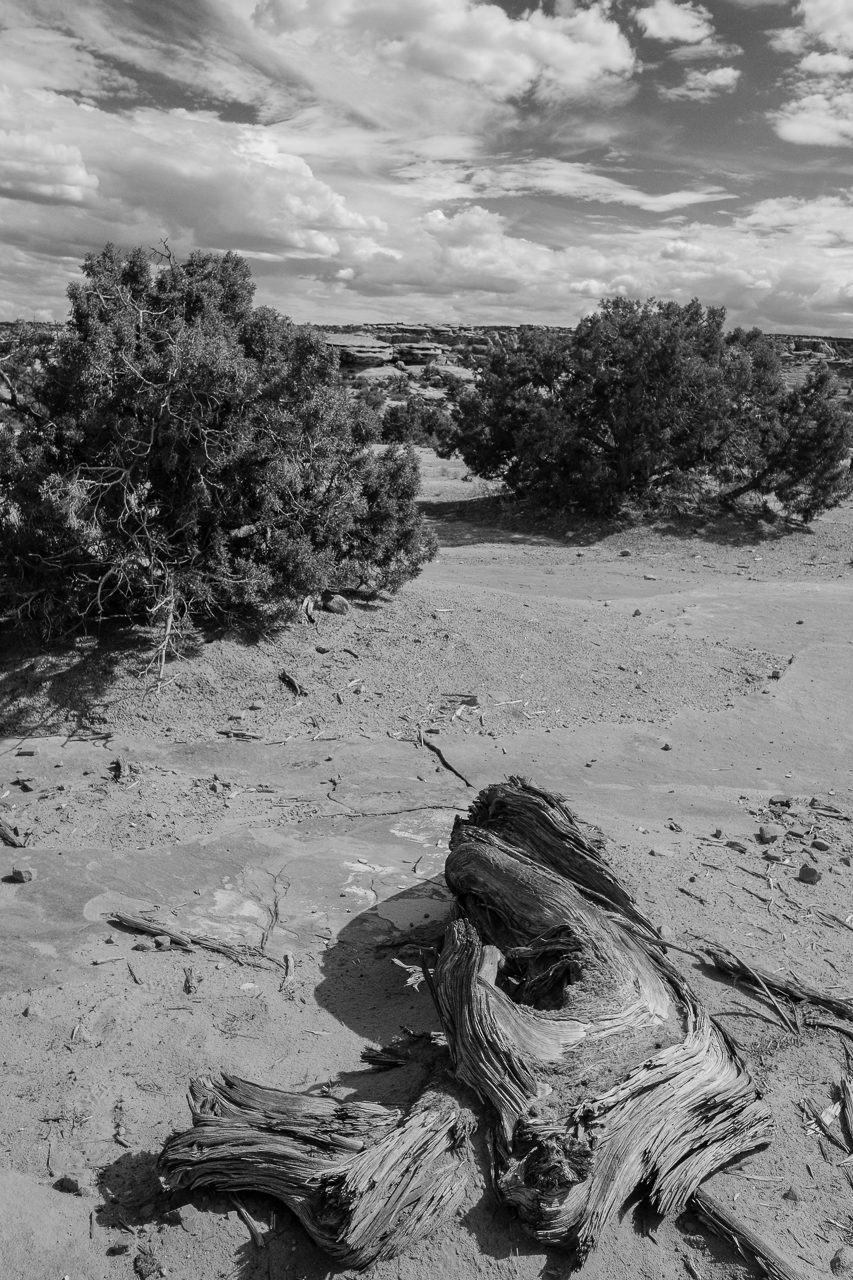 Day 213 - 365 Day B&W Photo Challenge - The Utah Junipers cover the desert landscape. - Fuji X-T3, XF 14mm f/2.8, Acros  R Film Simulation