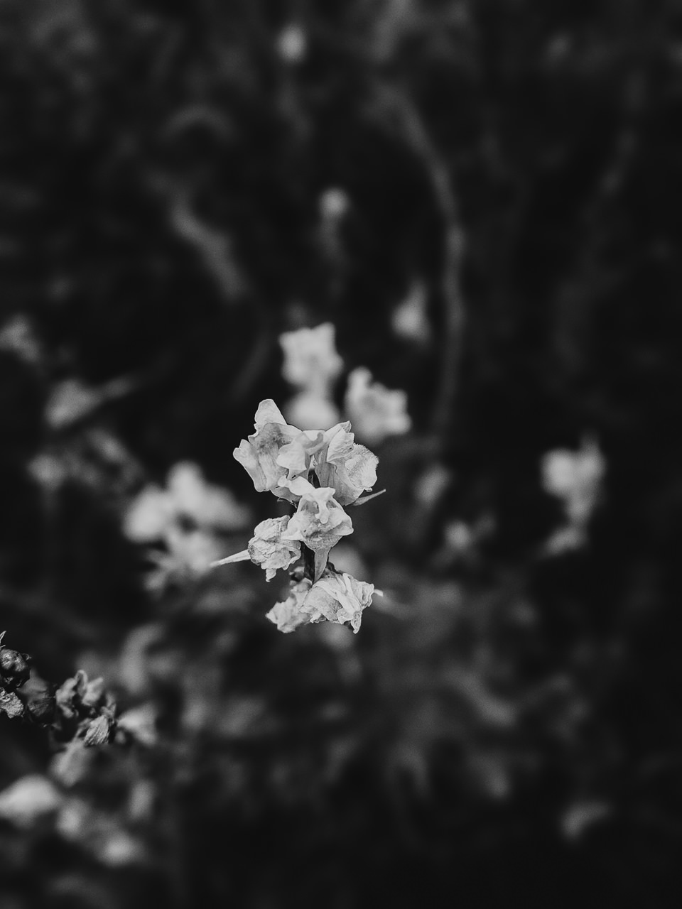 Day 239 - 365 Day B&W Photo Challenge - Summer flowers in bloom - Google Pixel 3 , Prbocessed with VSCO with b6 preset.