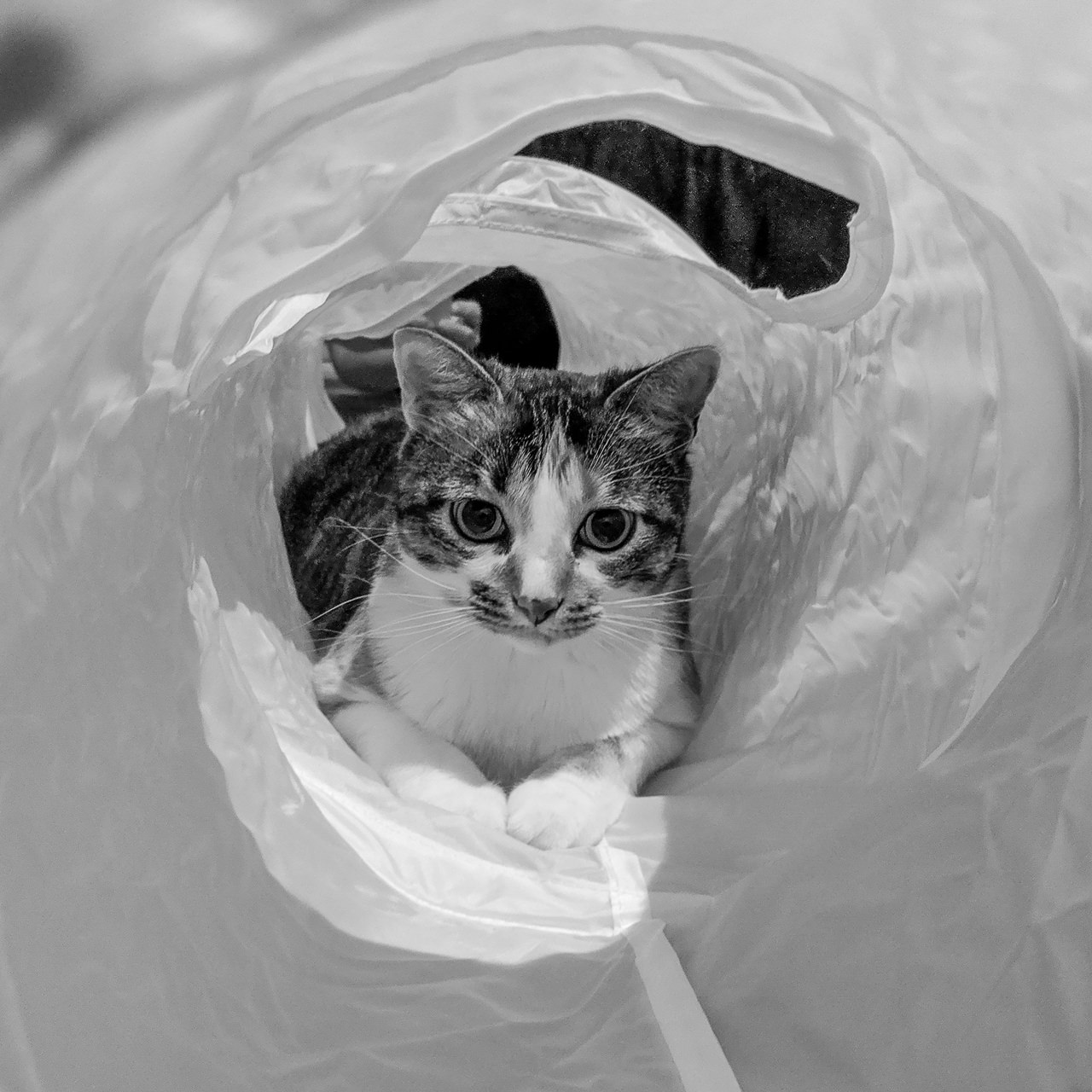 Day 242 - 365 Day B&W Photo Challenge - Gigi playing in her new cat tube.  - Google Pixel 3, process in Lightroom