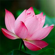 lotus-icon.jpg