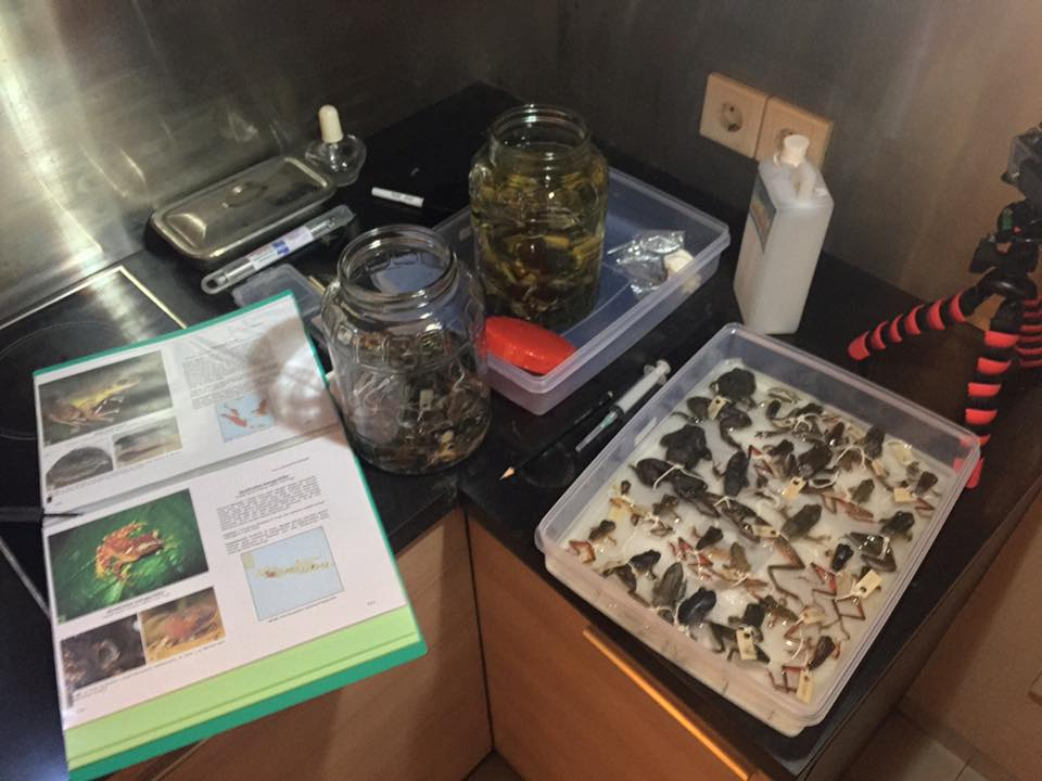 Fixing and preserving wild-caught frogs for future scientists to utilize and learn from. The specimens prepared here currently reside in the Museum of Zoology Bogor, Indonesia.