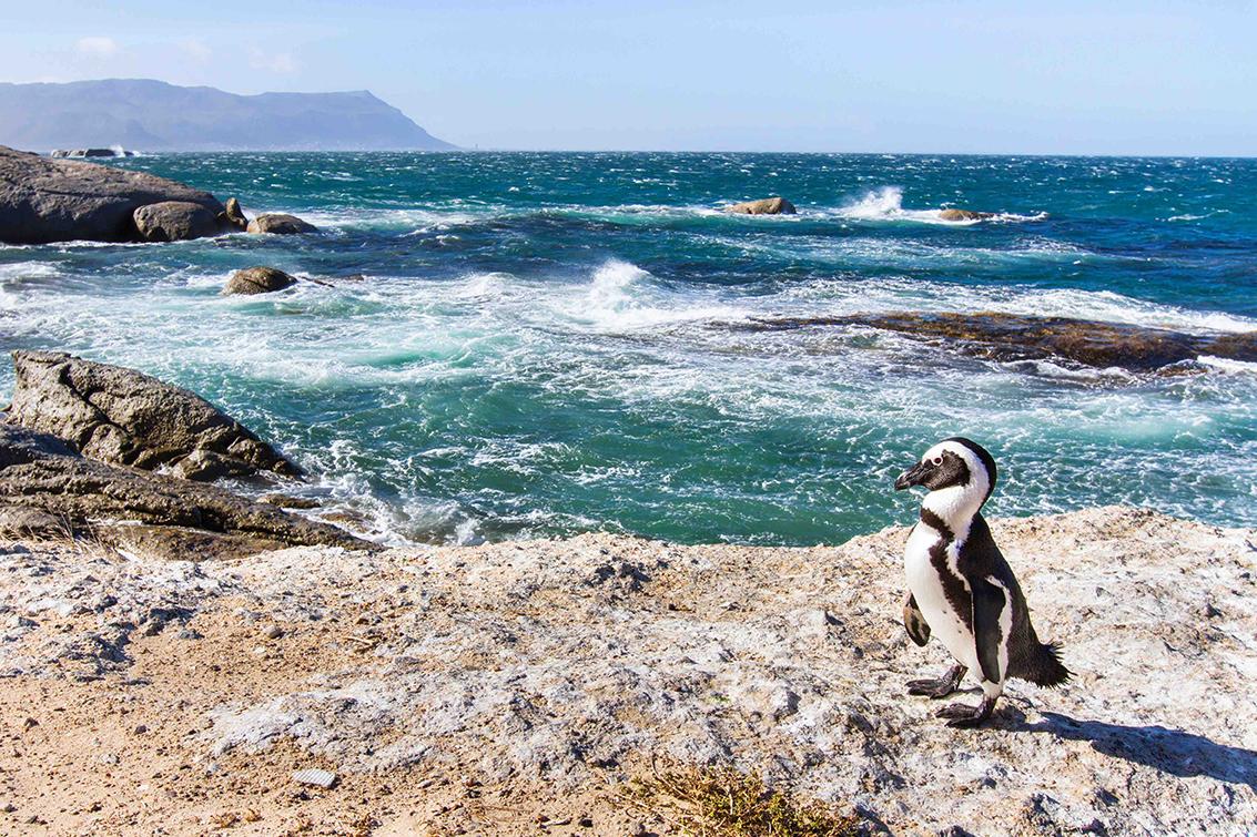 Penguins Soth Africa.jpg