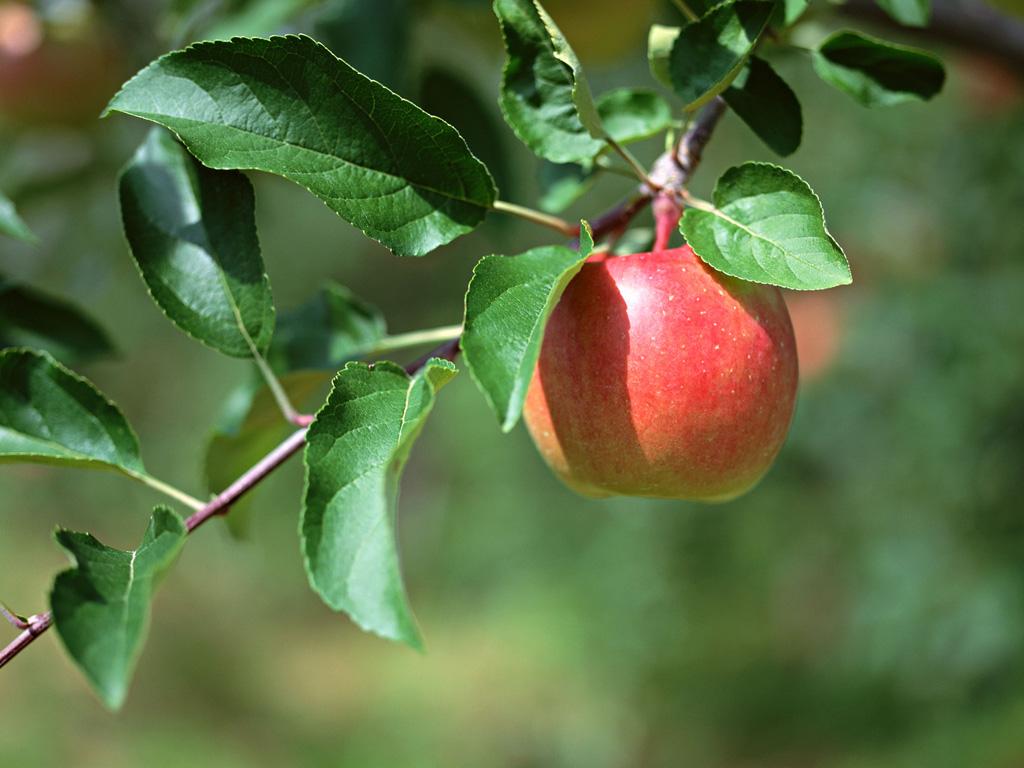 A-single-apple.jpg