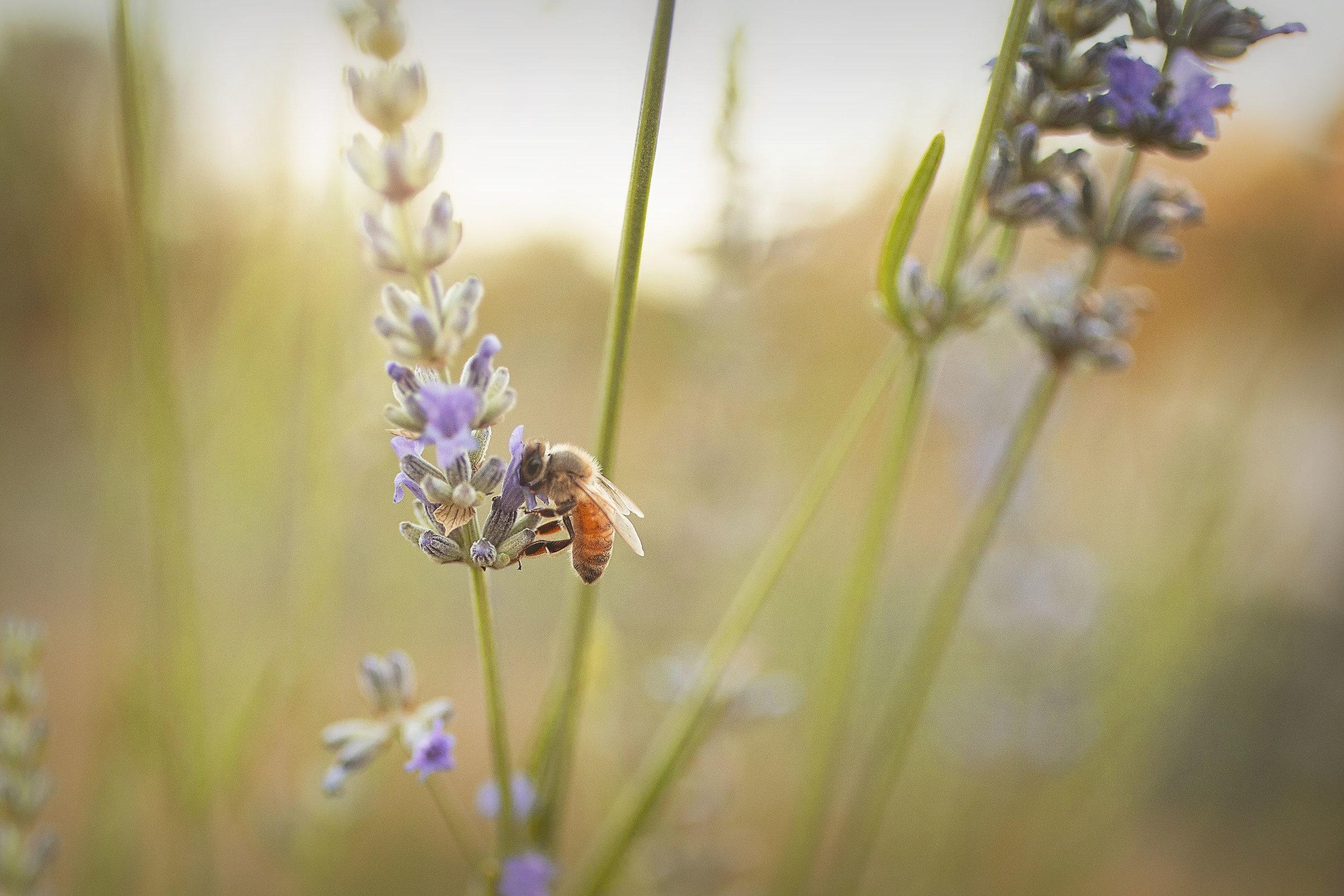 Beekissinglavender.jpg