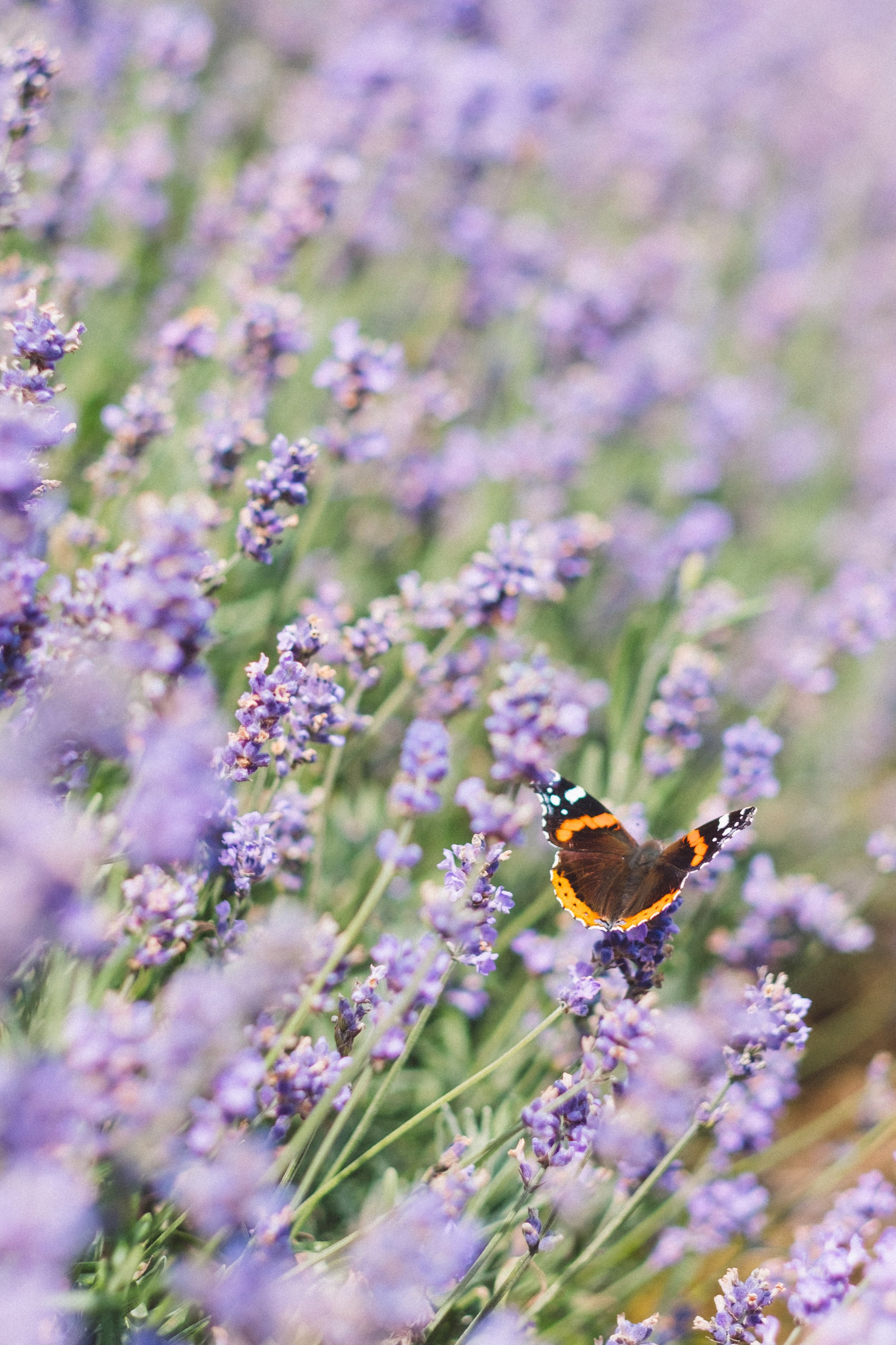 lavender with butterfly.jpg