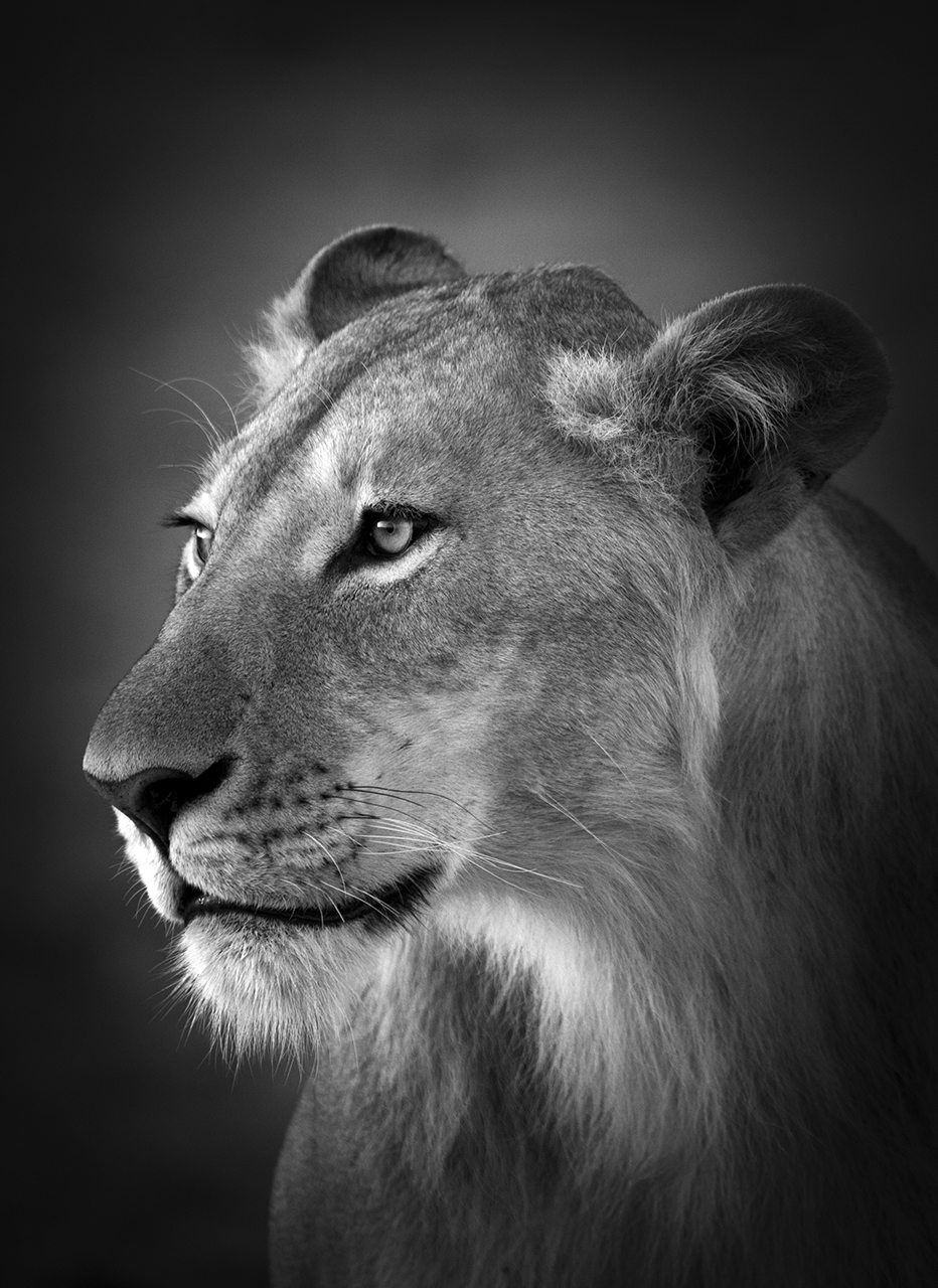 Lioness, Masai Mara, Kenya, 2017  By Björn Persson  Available in 6 different sizes, Price from 10.000 SEK