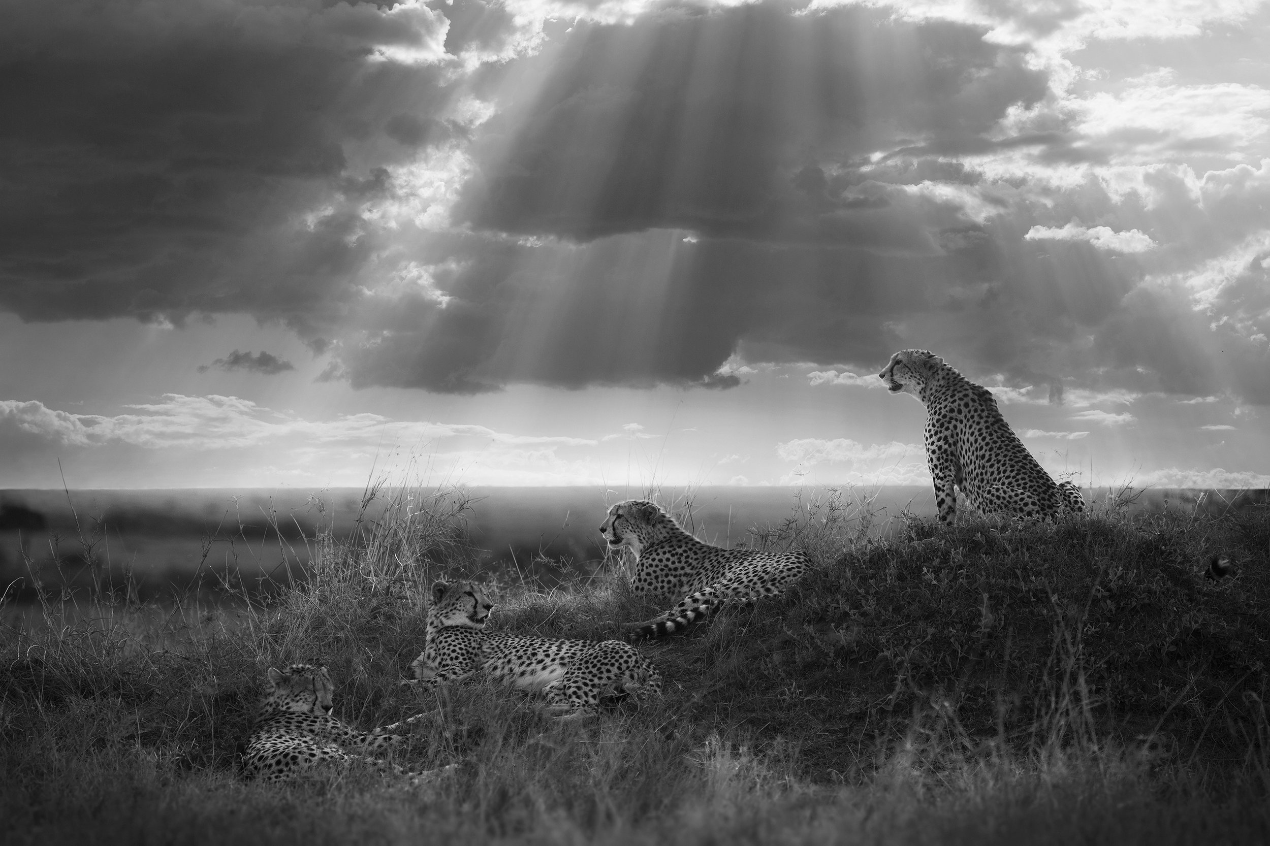 Blood Brothers, Masai Mara, Kenya, 2017  By Björn Persson  Available in 6 different sizes, Price from 10.000 SEK