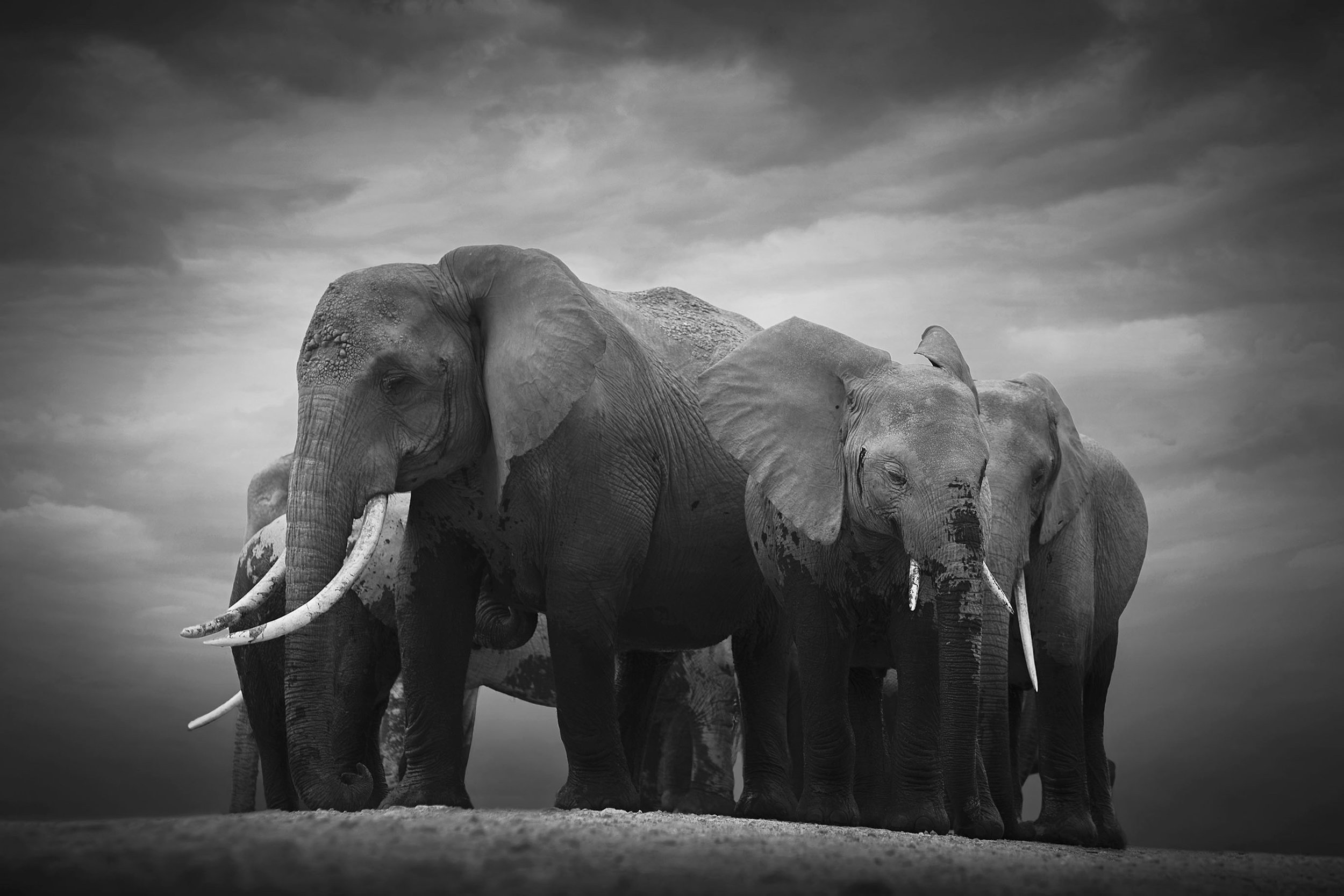 Together We Are Strong, Amboseli National Park, Kenya, 2018  By Björn Persson  Available in 6 different sizes, Price from 10.000 SEK