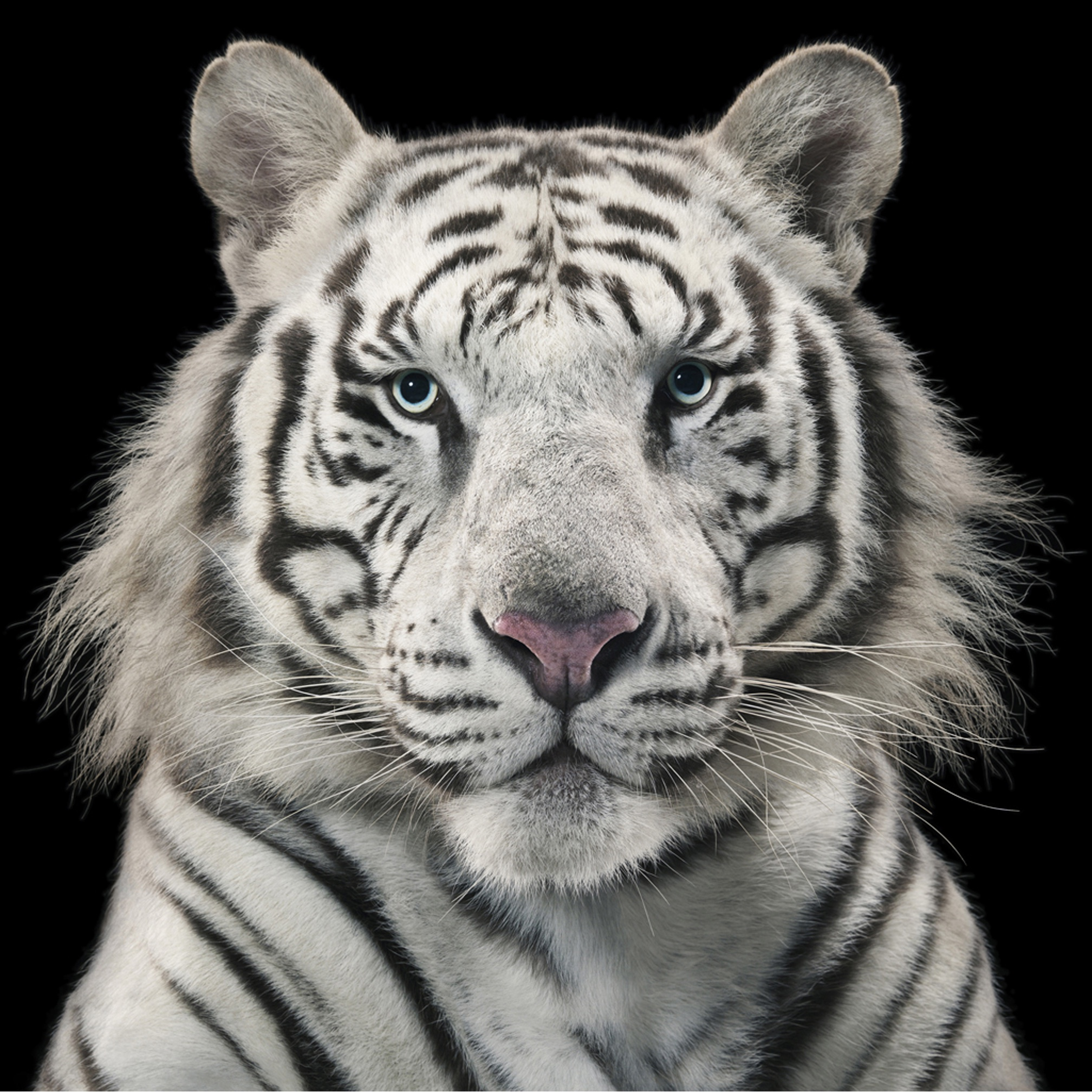 Royal White Tiger by Tim Flach