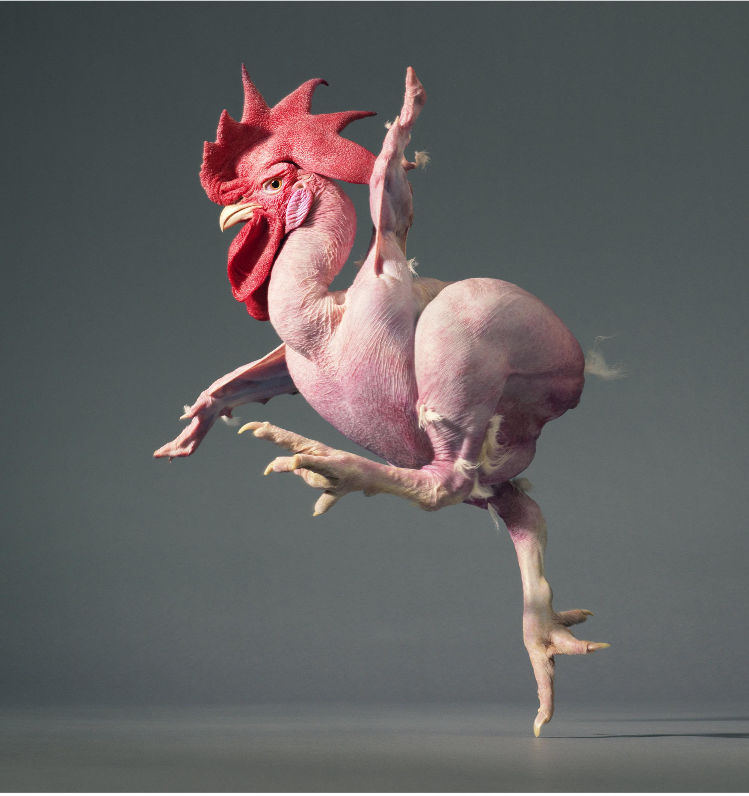 Featherless chicken by Tim Flach