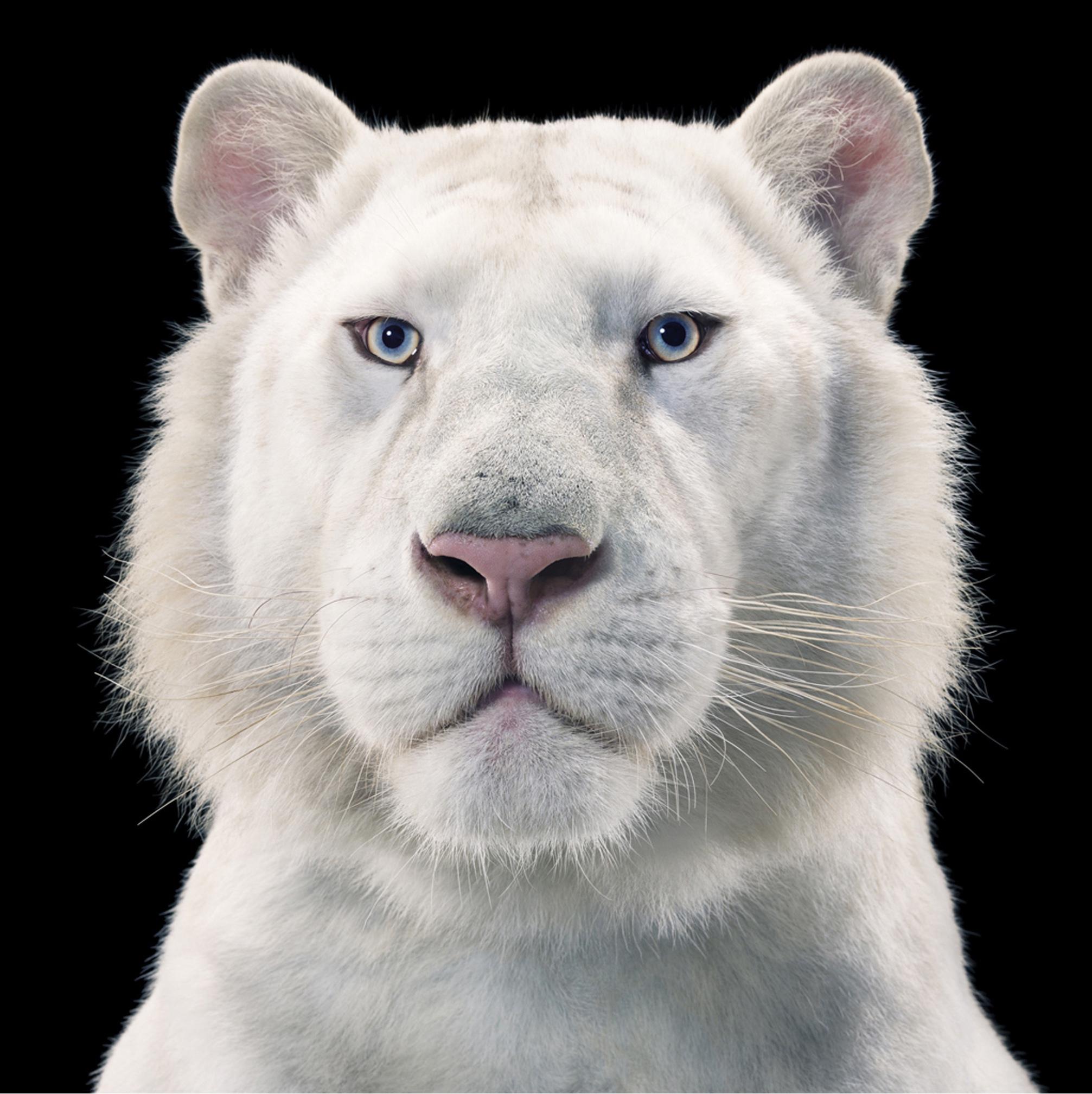 Snow White Tiger by Tim Flach