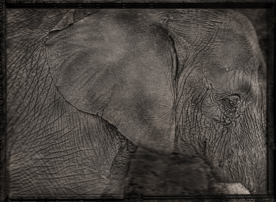 william ropp elephant.jpg