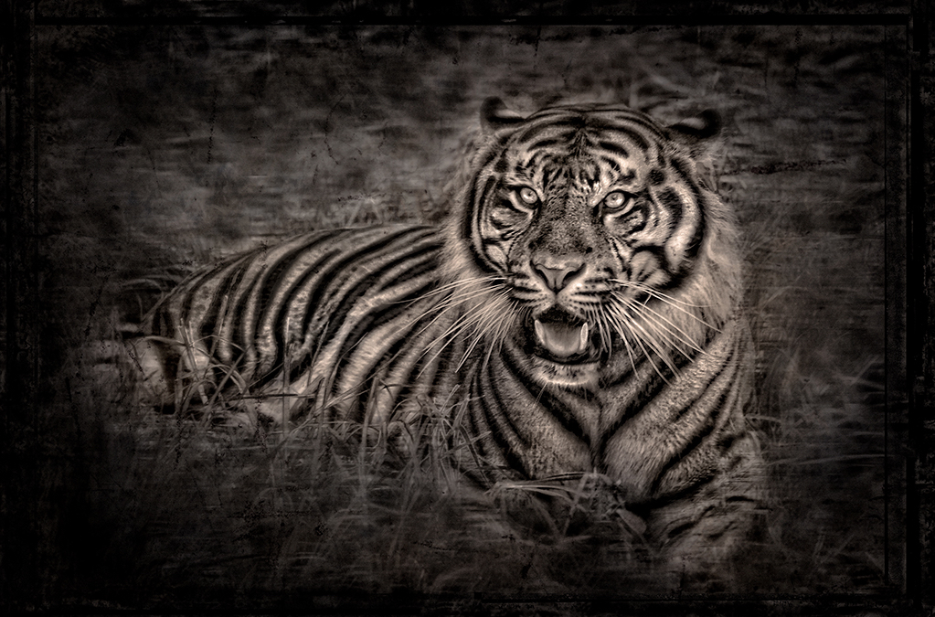william ropp tiger.jpg