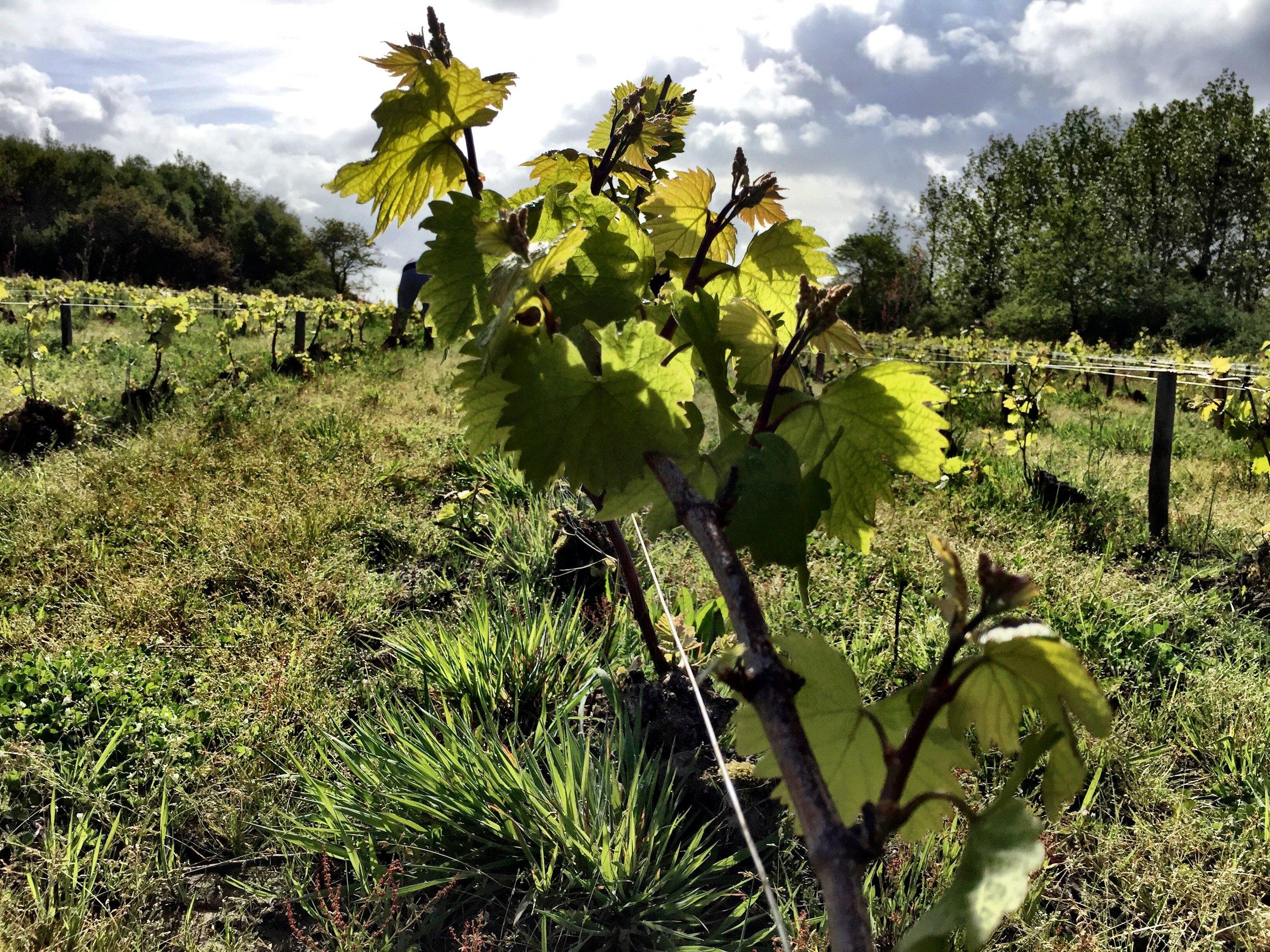 Vigne thierry michon domaine saint nicolas