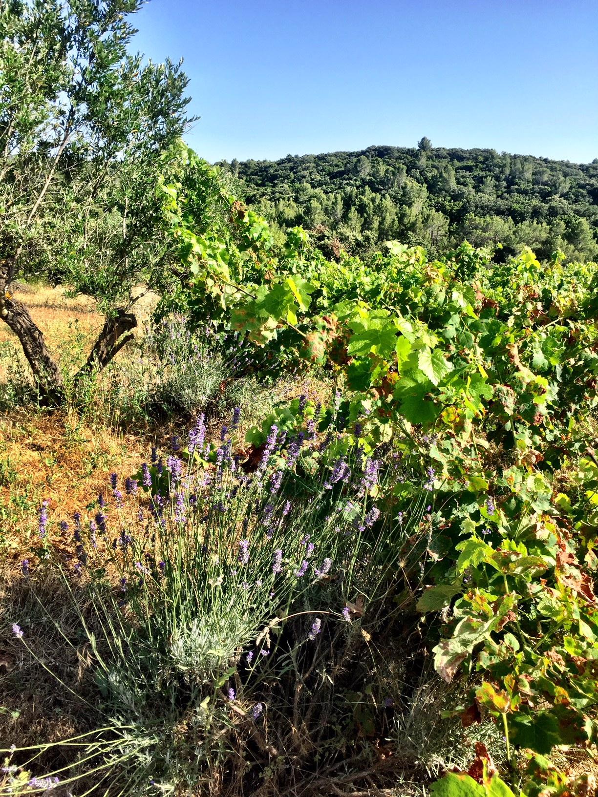 vigne lavande.jpg