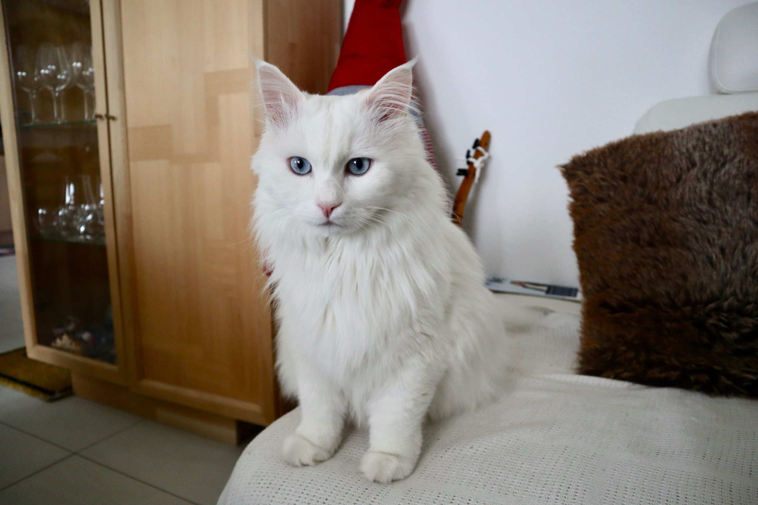 Toby the cat - now safe and sound in Frankfurt, Germany with his owners Nabila and Manfred.