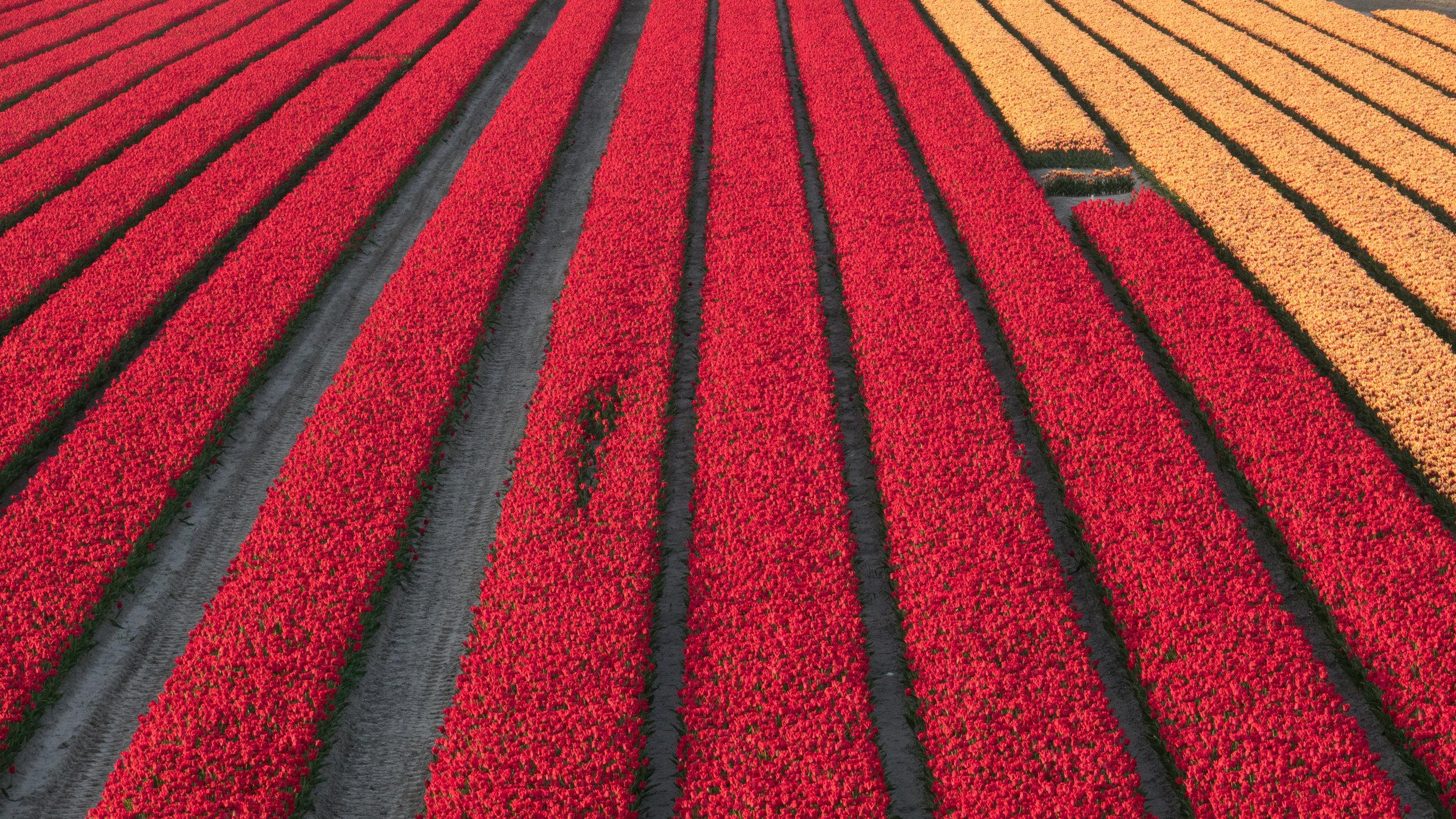 Deze foto is nog van vorig seizoen. Kijk toch eens hoe knap de tulpenvelden zijn als ze in volle bloei staan.