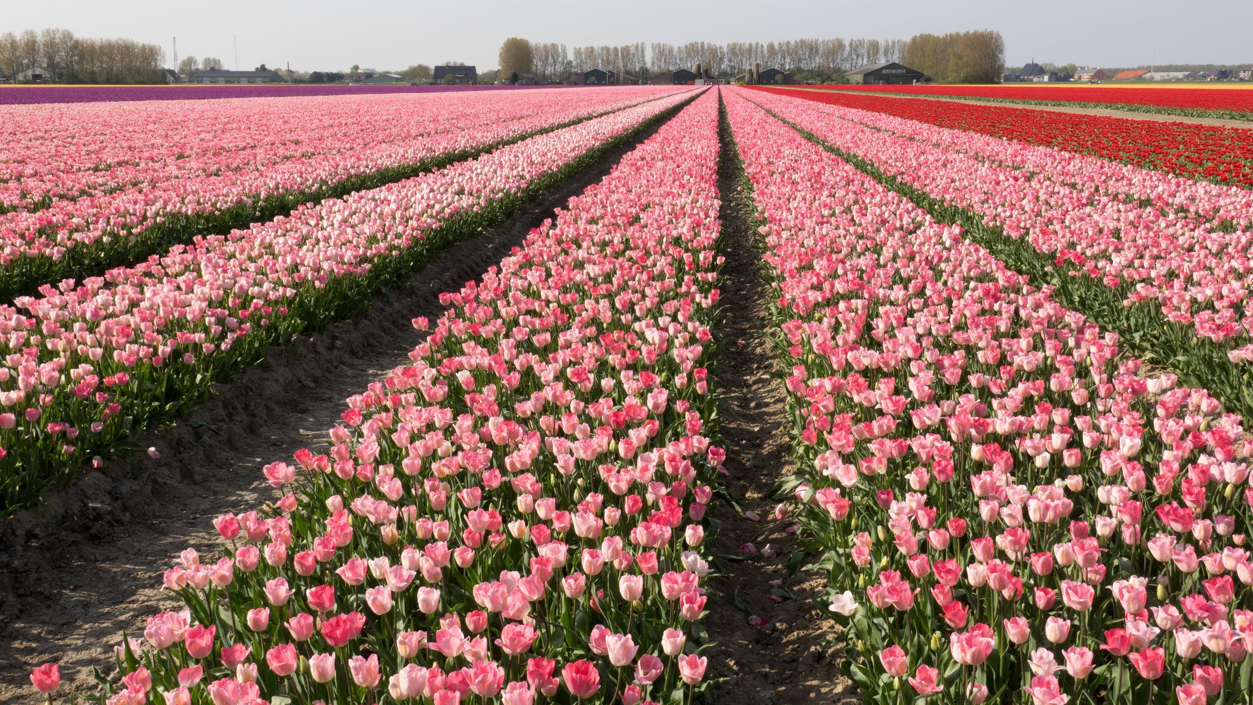 Deze foto's zijn van een paar weken geleden toen de tulpenvelden in volle bloei stonden. Tulpen zo ver het oog reikt. Prachtig hè?