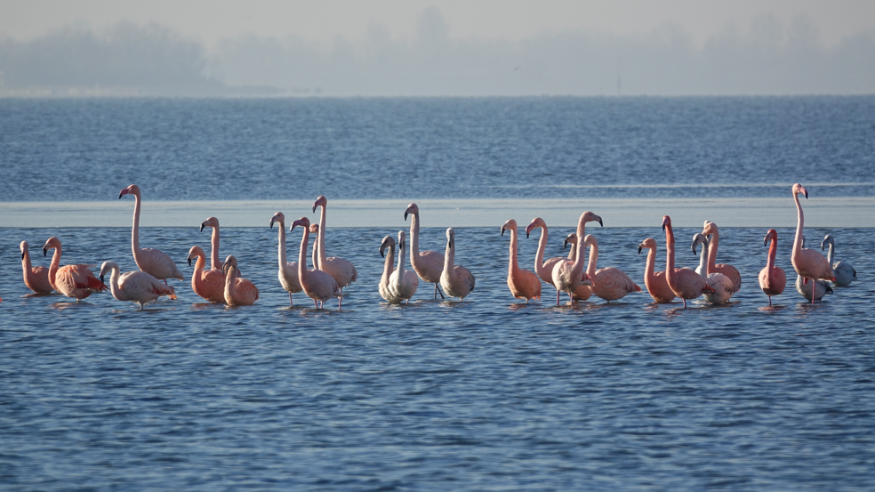 Nu waren de flamingo's bijna allemaal vertrokken. Een tijdje geleden kon je er nog een hele kudde roze flamingo's spotten! Fotocredits: R. Van Houten