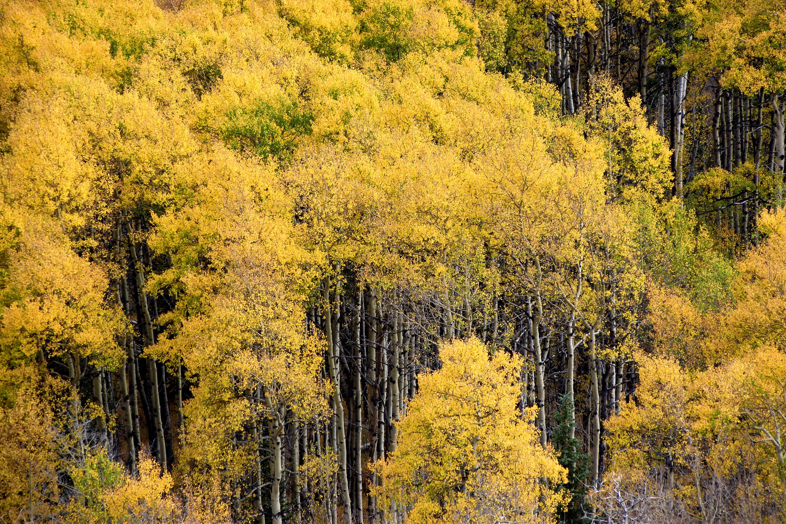 yellow_aspen.jpg