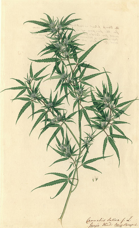 DM Hemp - Sativa Plant.jpg