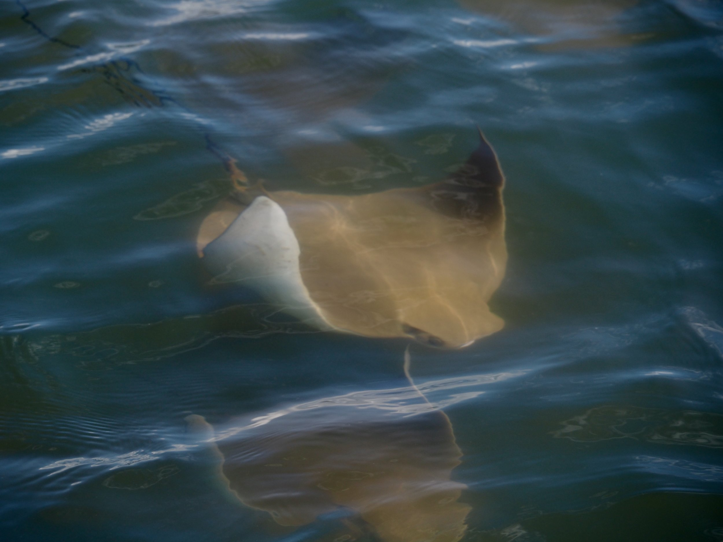 One golden cow nosed ray