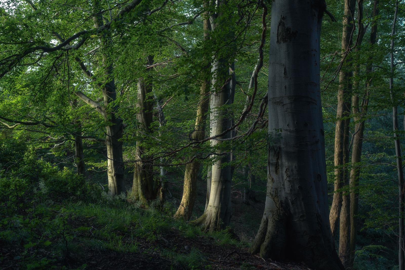 Stara buczyna z jaworami przy skraju lasu.