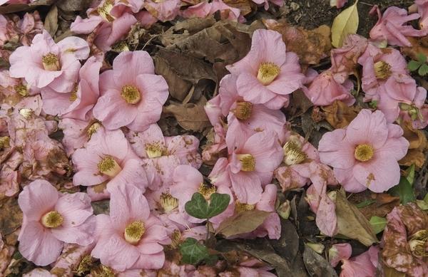 camellia blossoms fl50-49 (1).jpg