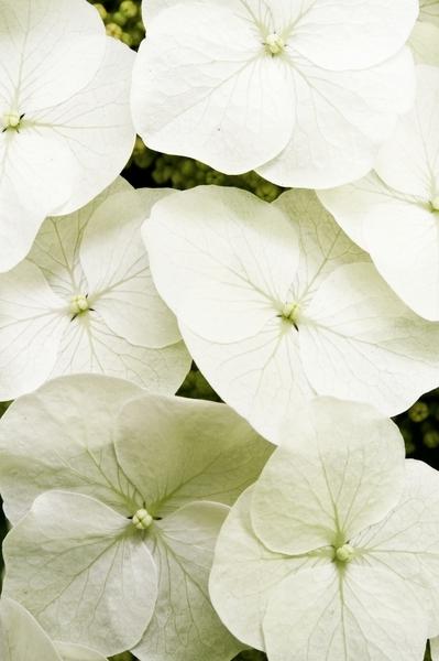 hydrangea d170-11dm.jpg