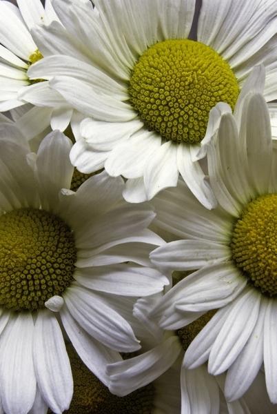 daisies d103-113m.jpg