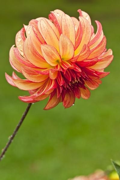 pink & yellow dahlia  fl161-67.jpg