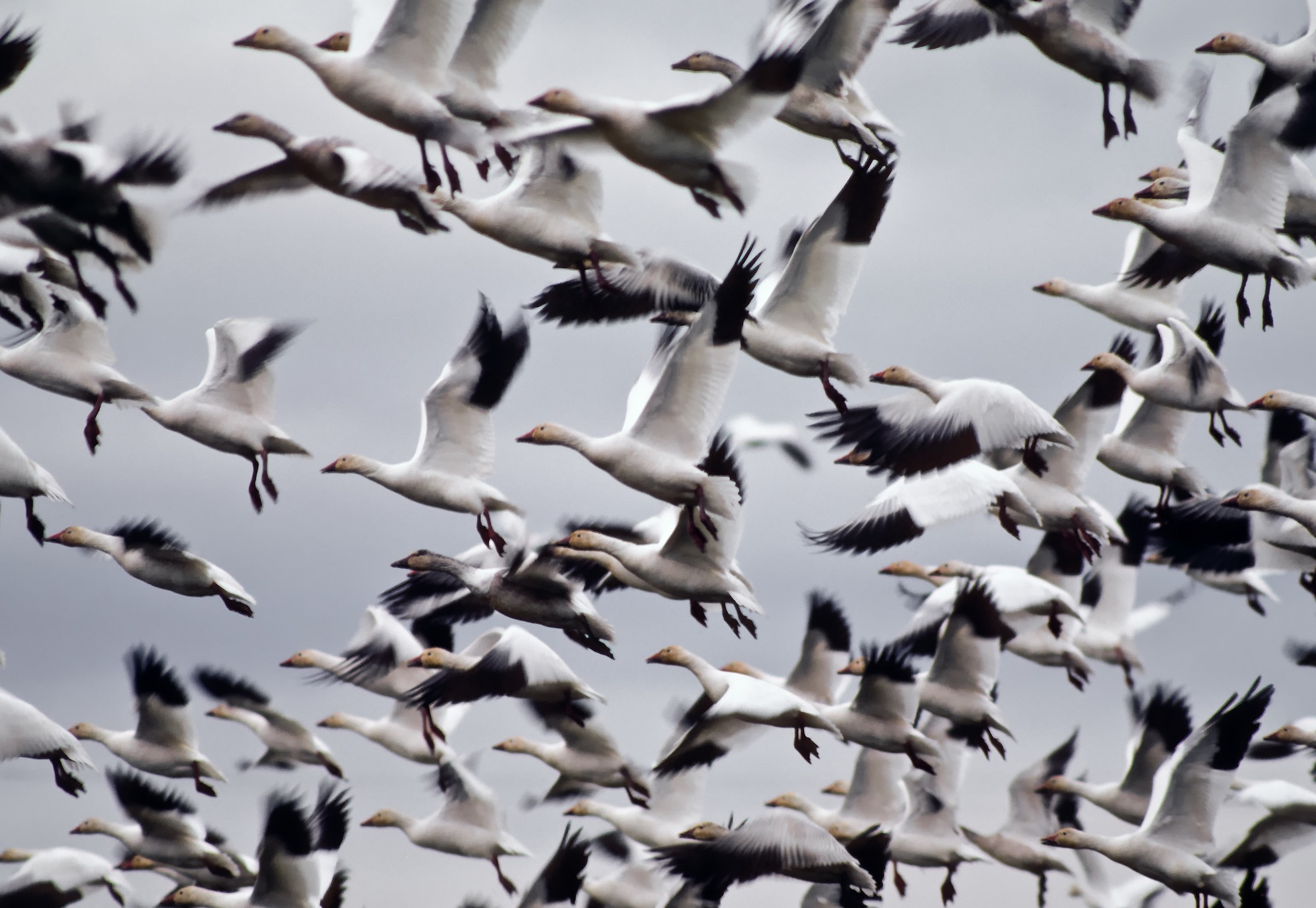 Snow Geese in Flight. © given photography 2019