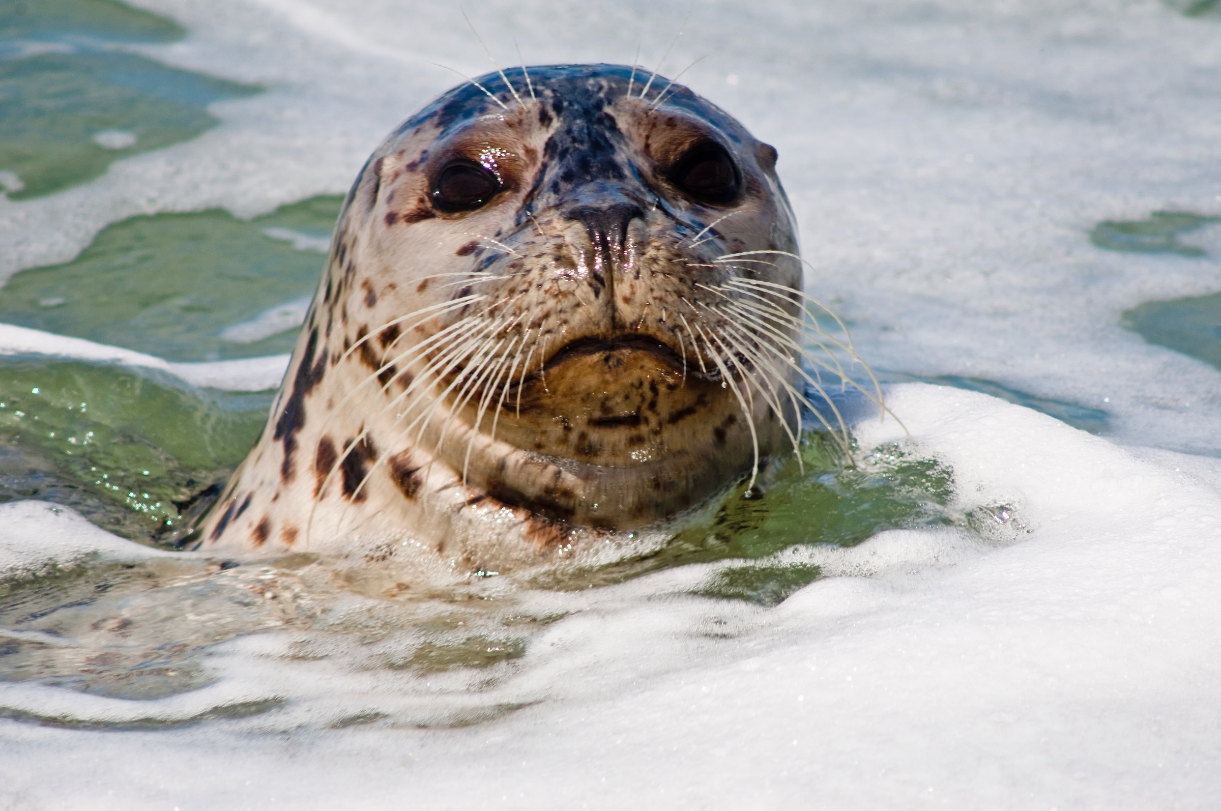 Always curious harbor seals often swim in the waters around the park