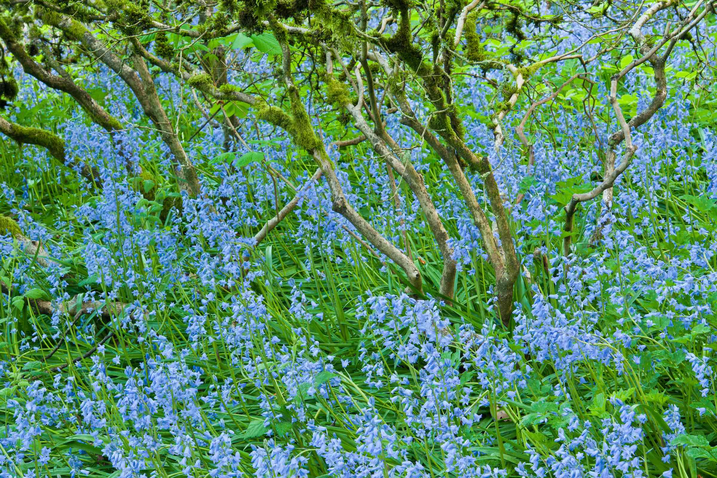 SPANISH BLUEBELLS. © GIVEN PHOTOGRAPHY 2018