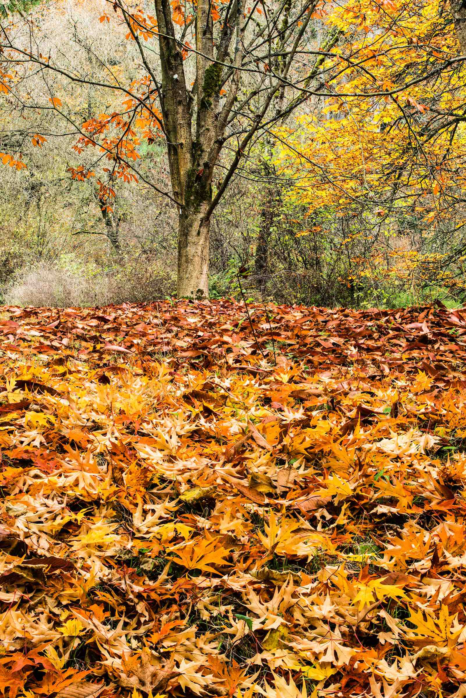 BUCKEYE TREE AND MAPLE LEAVES. © GIVEN PHOTOGRAPHY