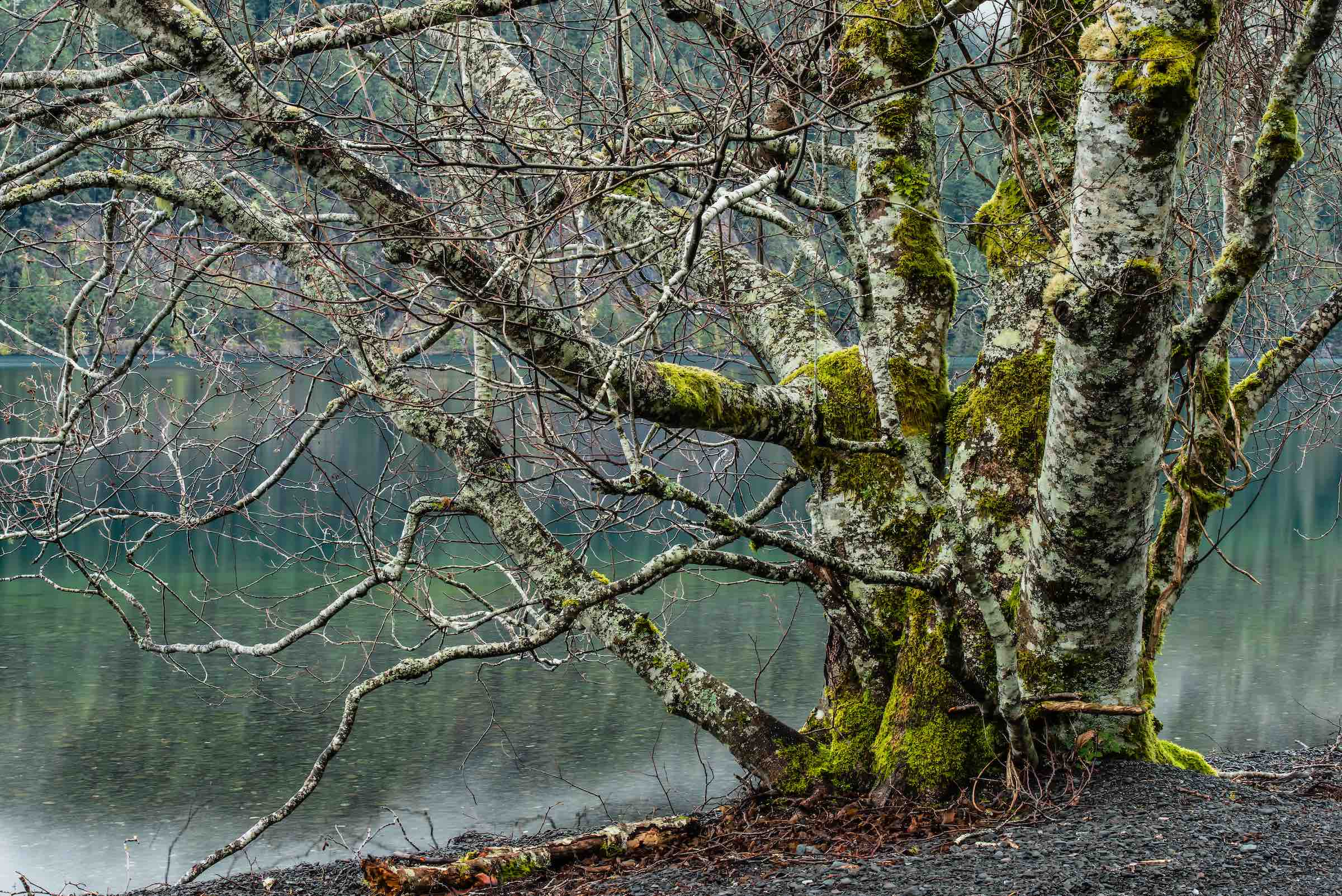 RED ALDER. © GIVEN PHOTOGRAPHY 2018