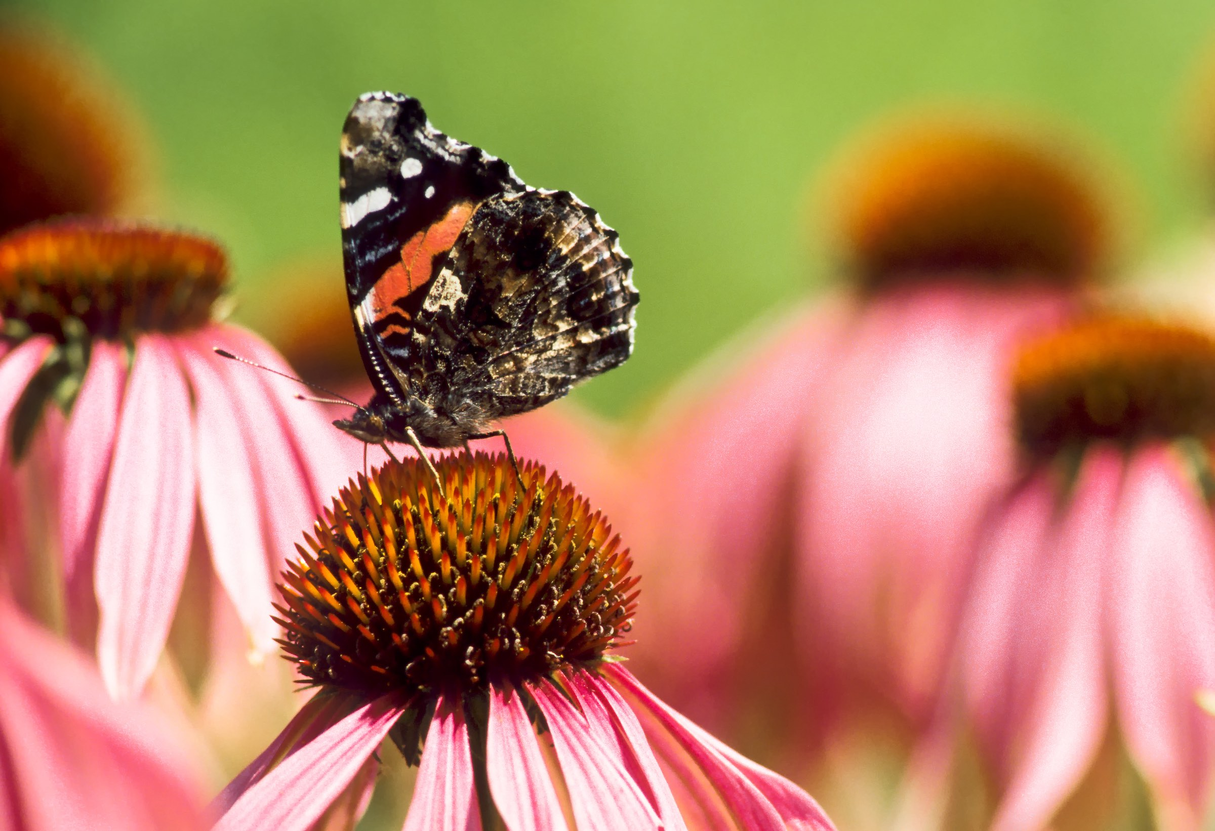 RED ADMIRAL BUTTERFLY ON CONE FLOWER. © GIVEN PHOTOGRAPHY