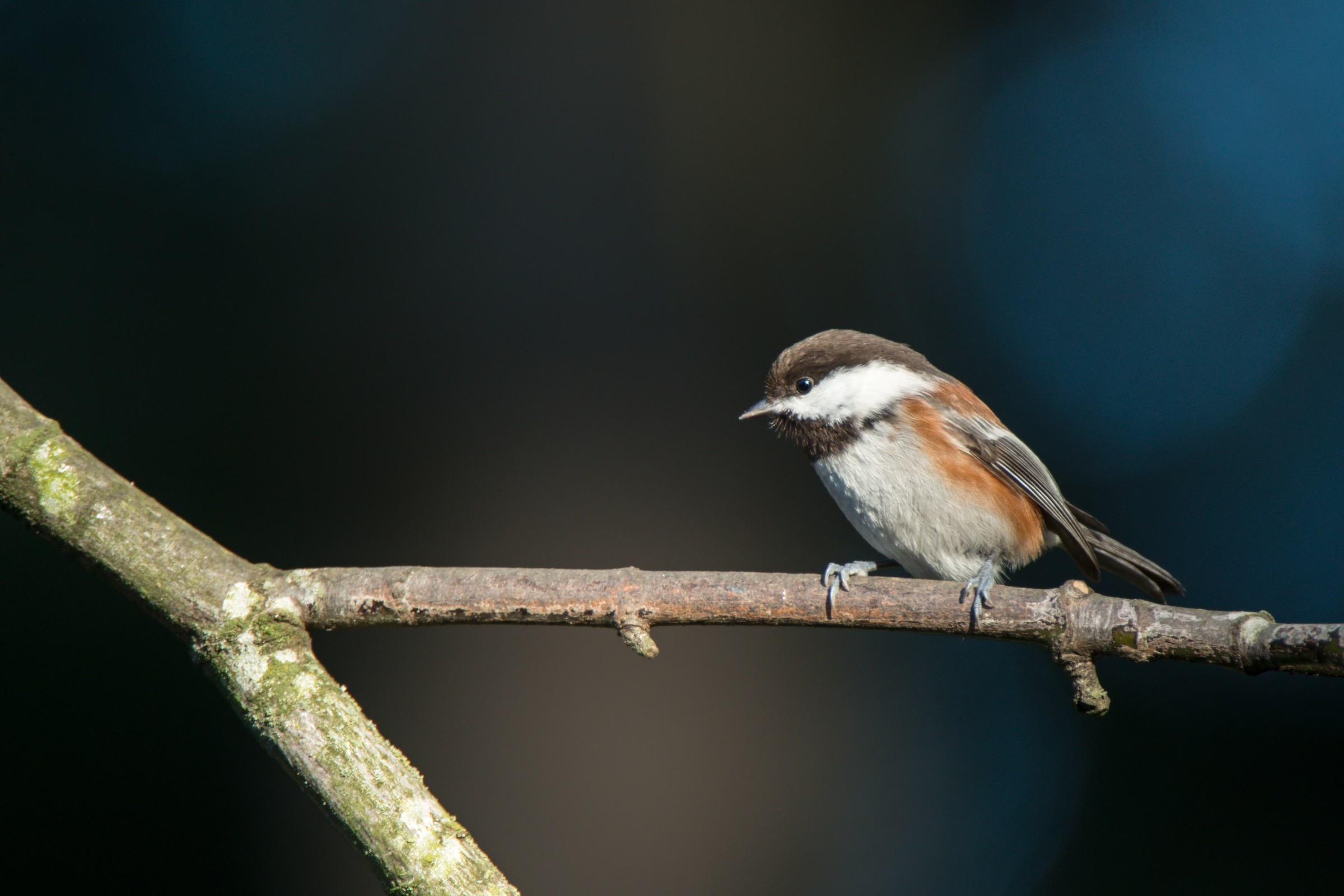 CHESTNUT-BACKED CHICKADEE. © GIVEN PHOTOGRAPHY