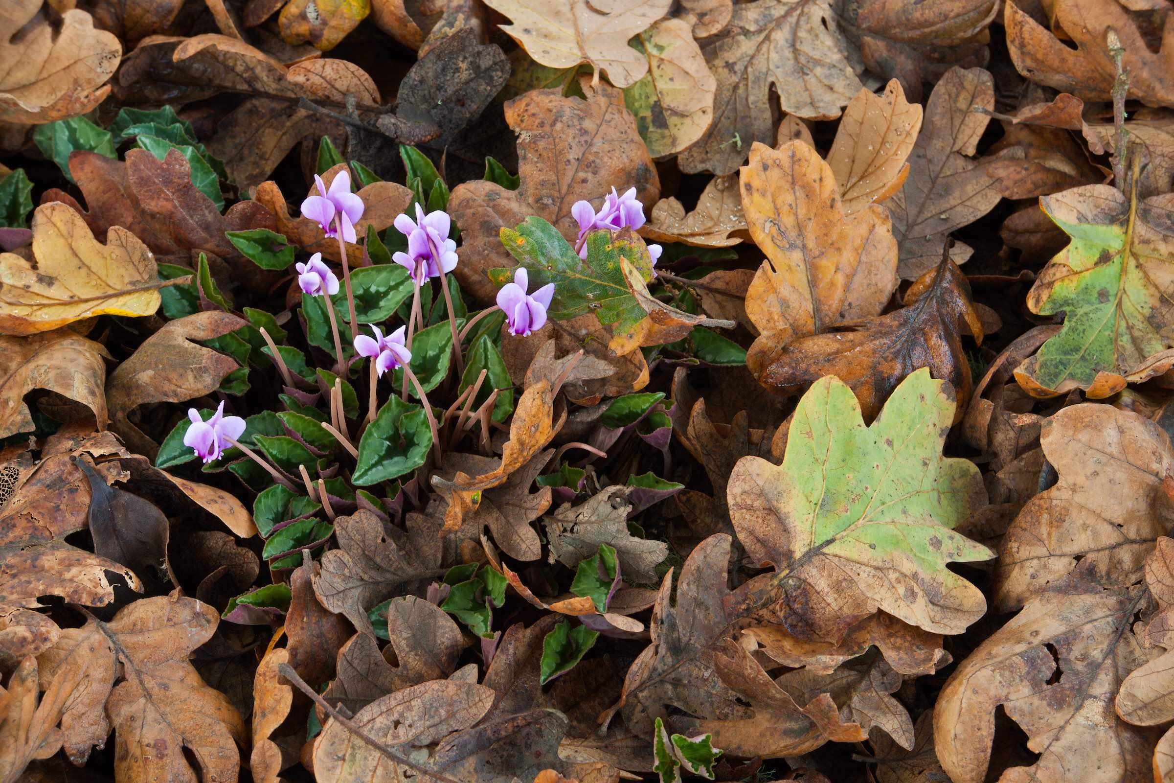 CYCLAMEN AND WHITE OAK LEAVES. © GIVEN PHOTOGRAPHY