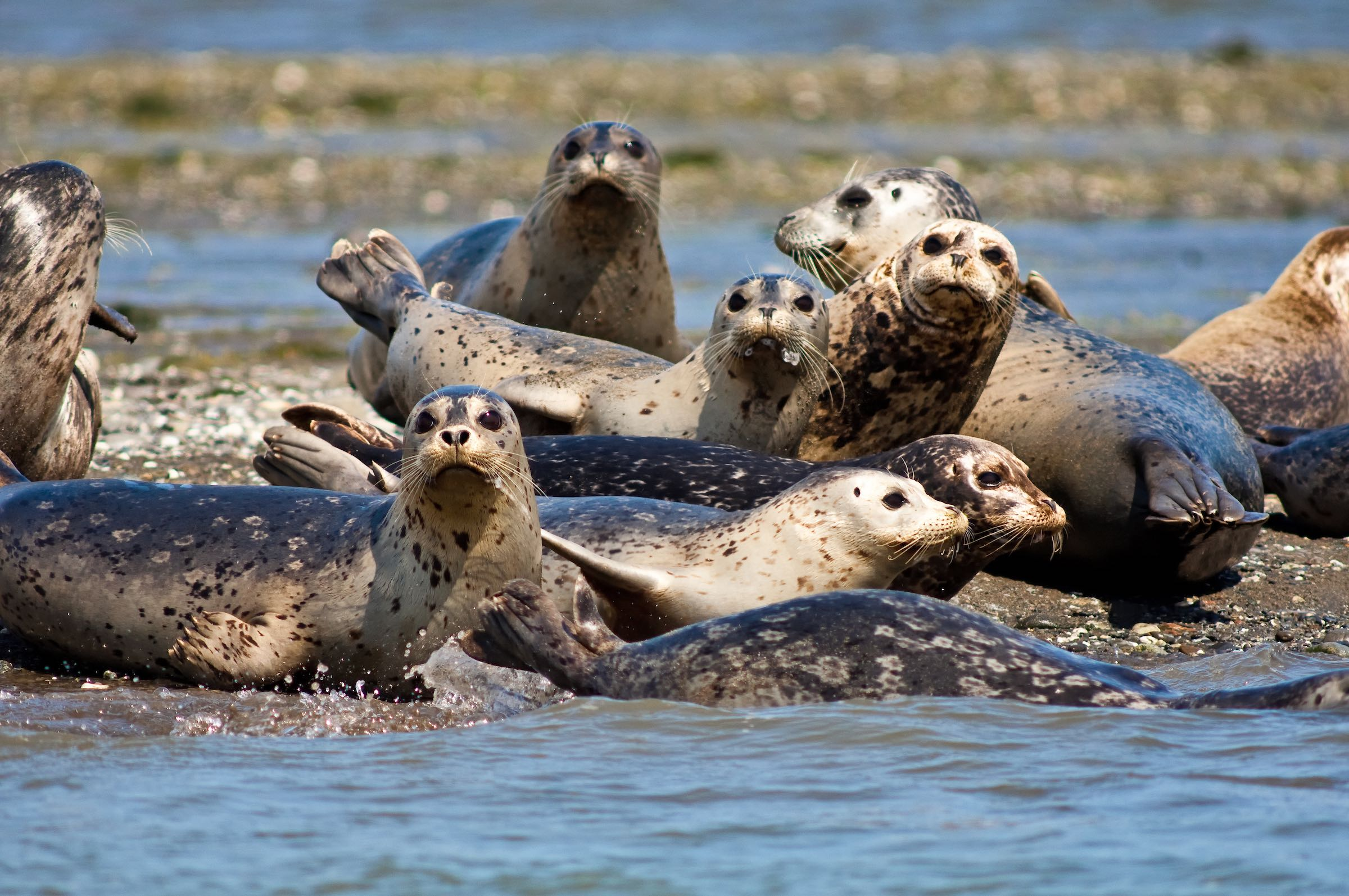 HARBOR SEALS. © GIVEN PHOTOGRAPHY 2018