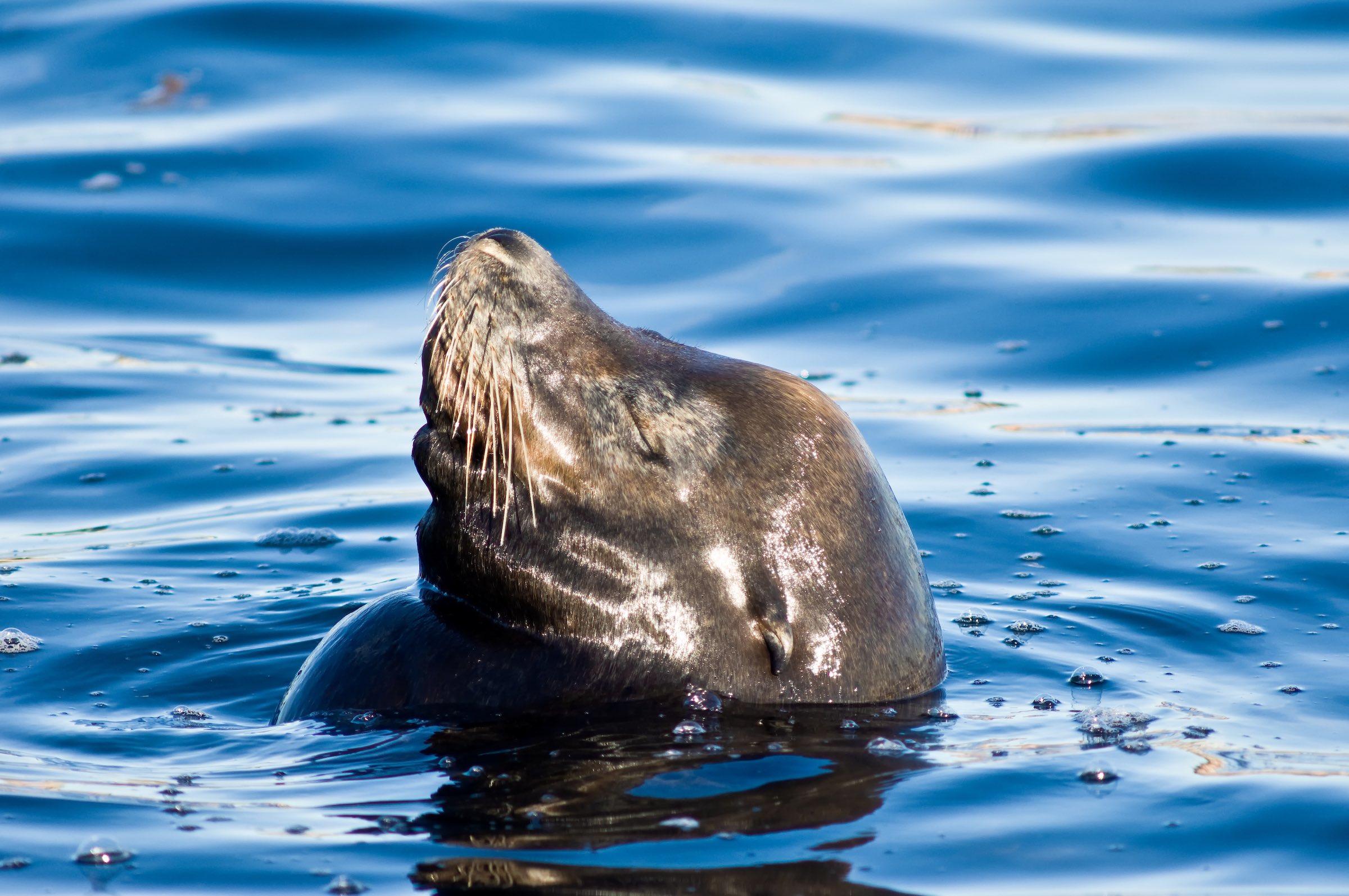 CALIFORNIA SEA LION. © GIVEN PHOTOGRAPHY 2018
