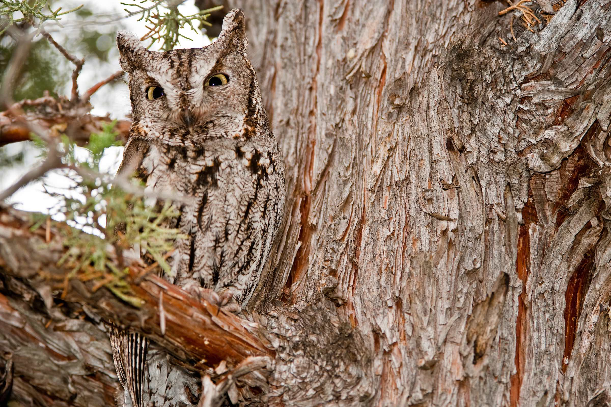 WESTERN SCREECH OWL. © GIVEN PHOTOGRAPHY 2018