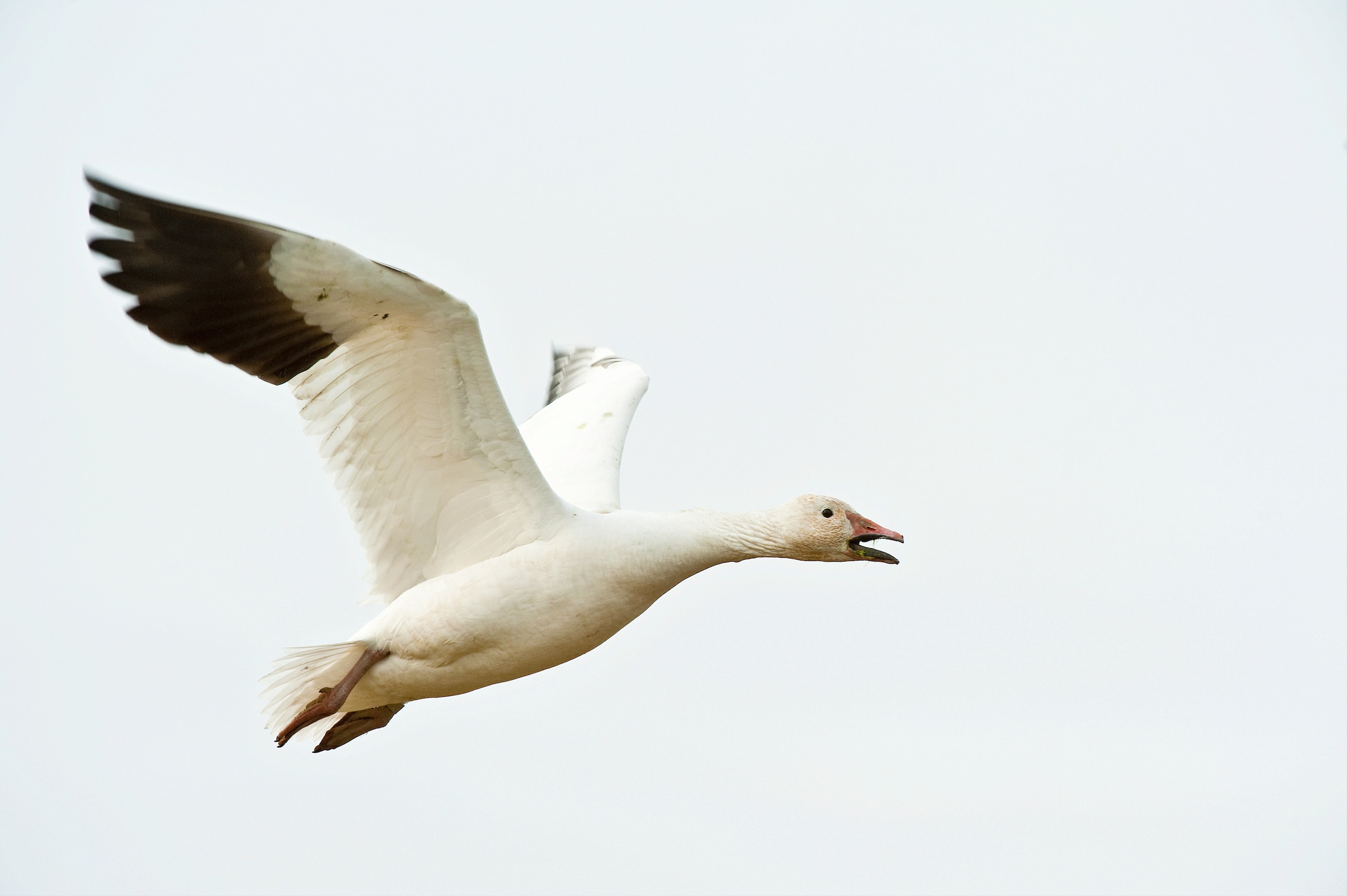 snow goose in flight. © given photography 2018