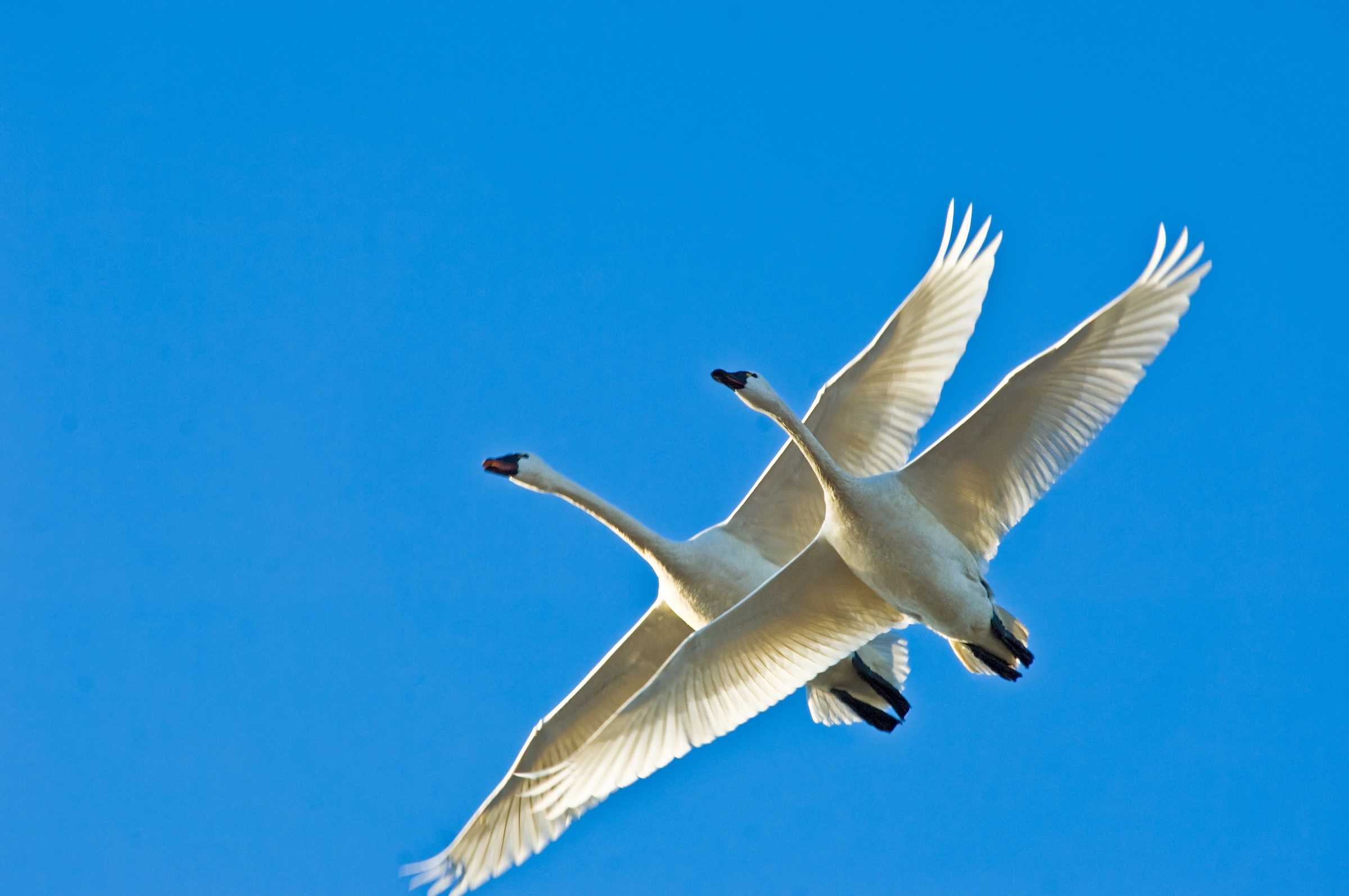 tundra swans. © given photography 2018