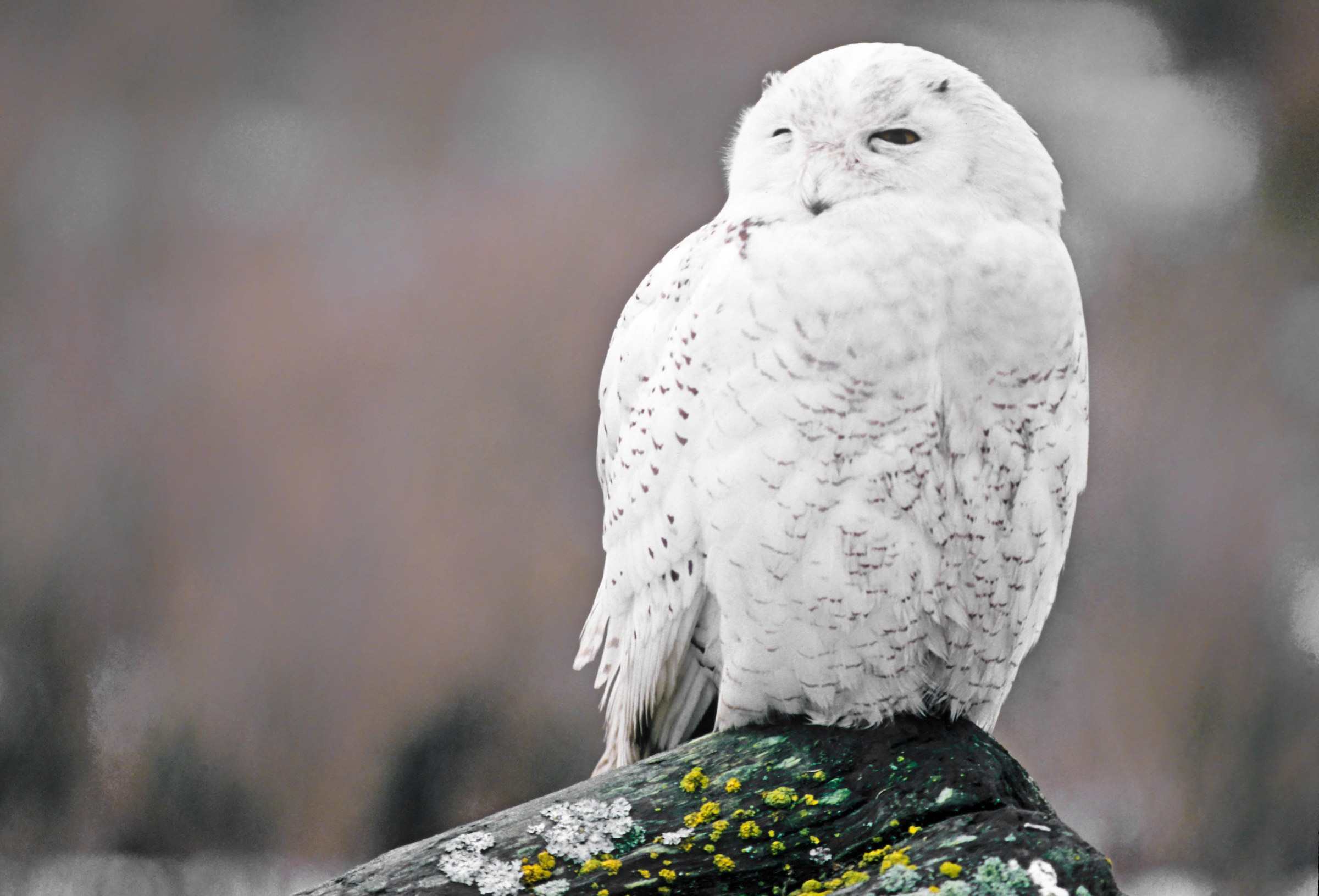 snowy owl. © given photography 2018