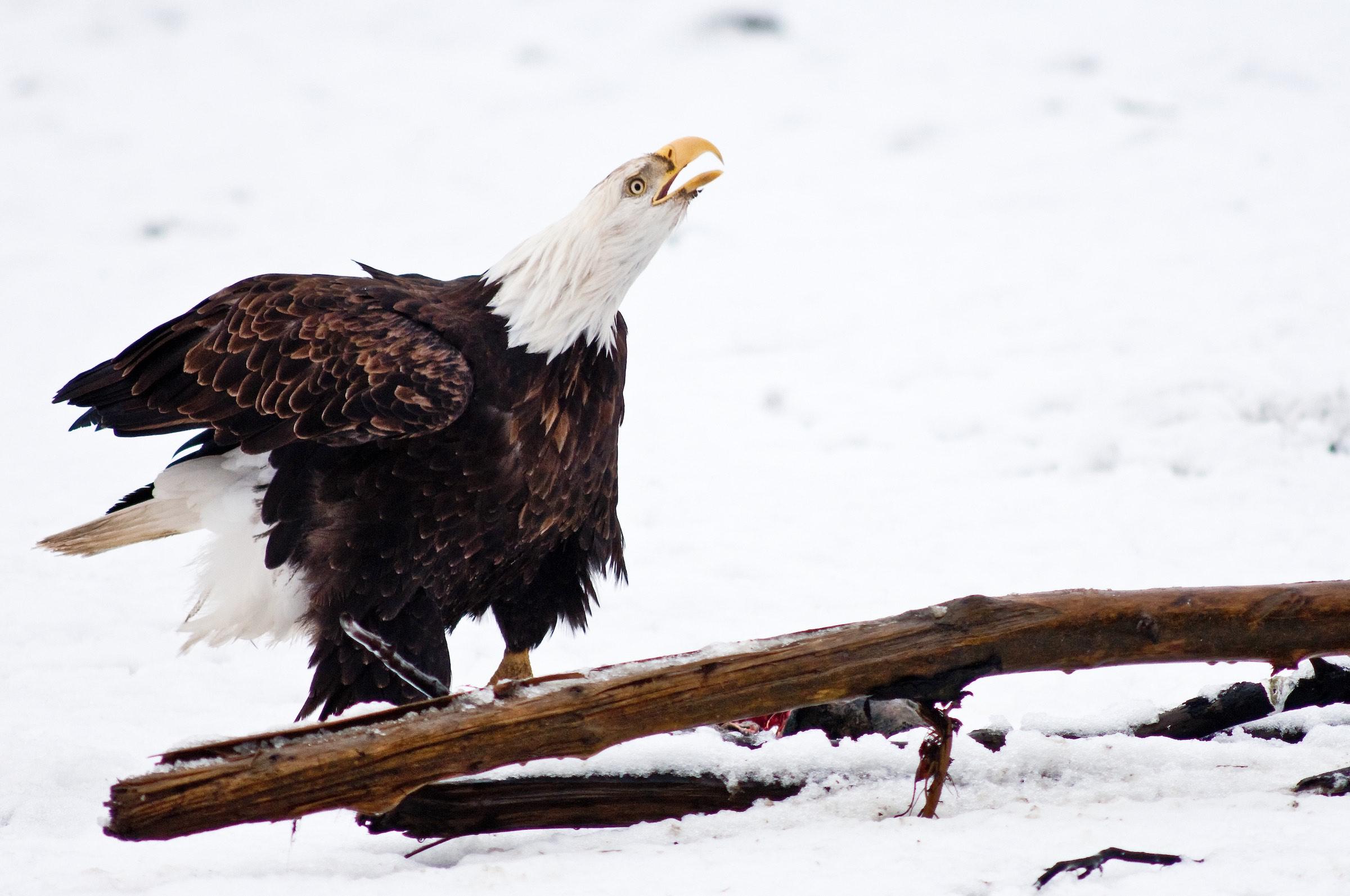 bald eagle. © given photography 2018